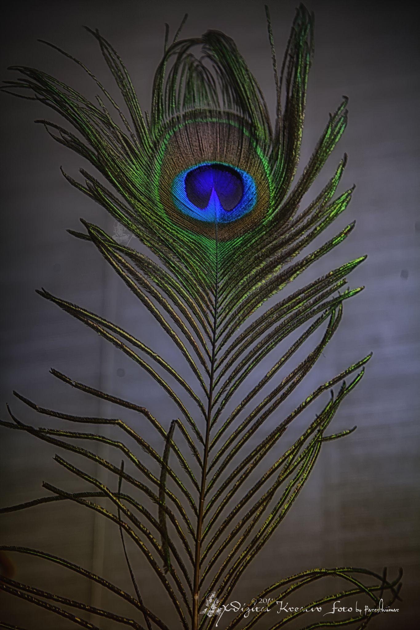 Peacock Feather by Wow! Photos.Eu