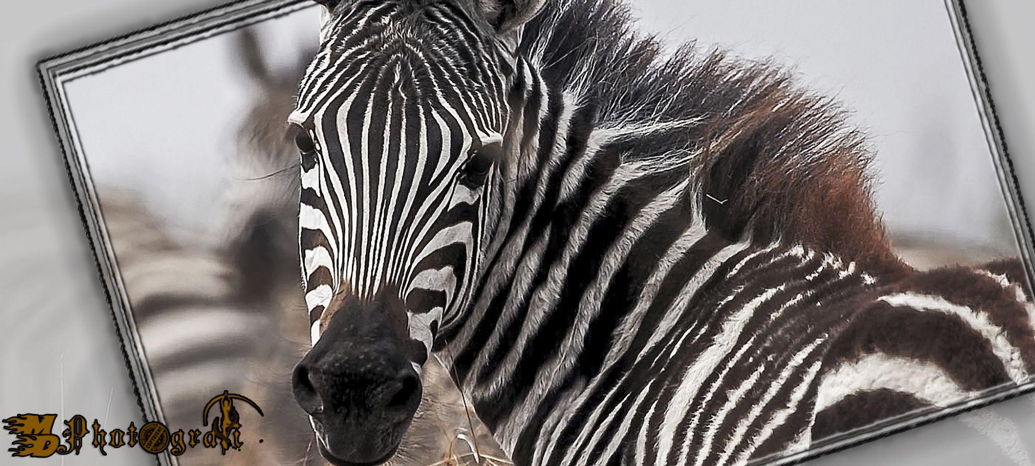 Zebra by Wow! Photos.Eu