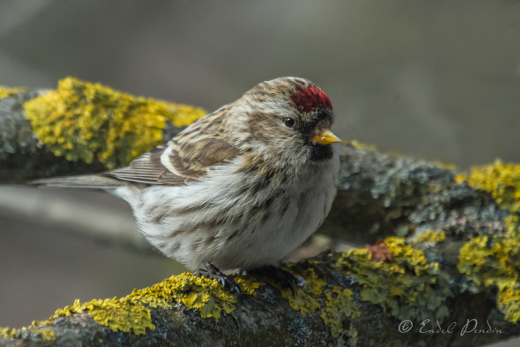 The common redpoll (Acanthis flammea) by sarvikpytt