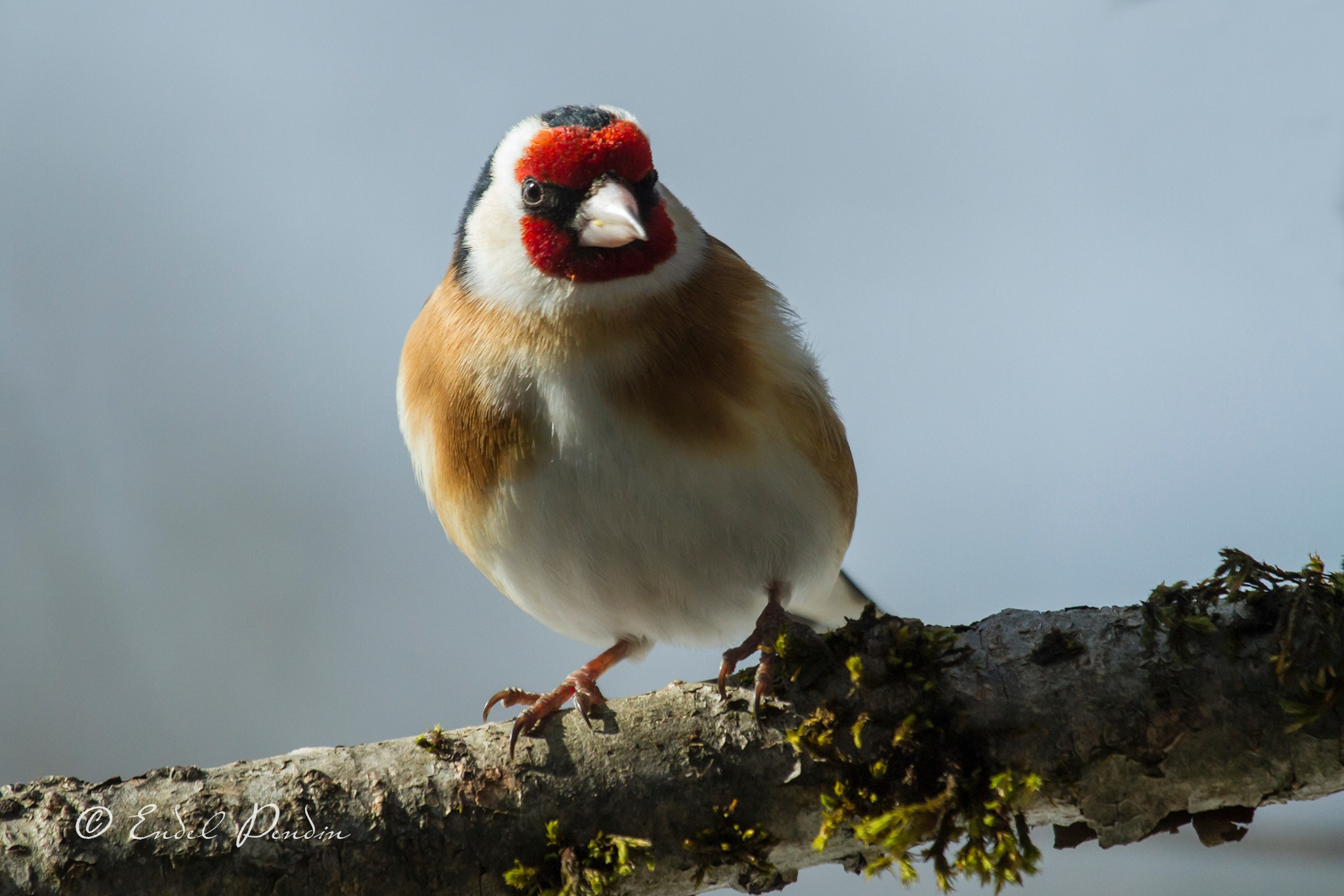 The European goldfinch or goldfinch (Carduelis carduelis) by sarvikpytt