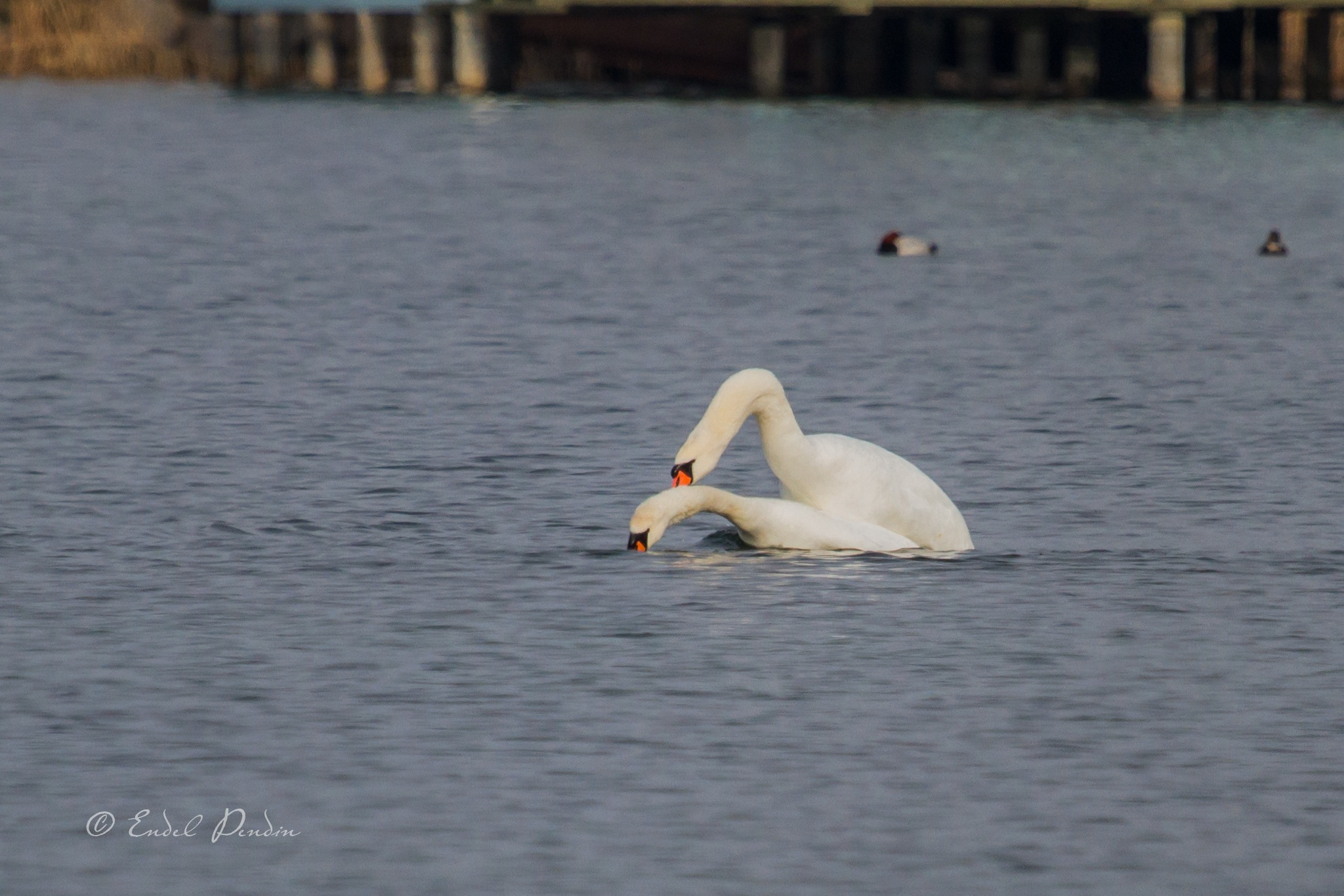 The mate.The mute swan (Cygnus olor). by sarvikpytt