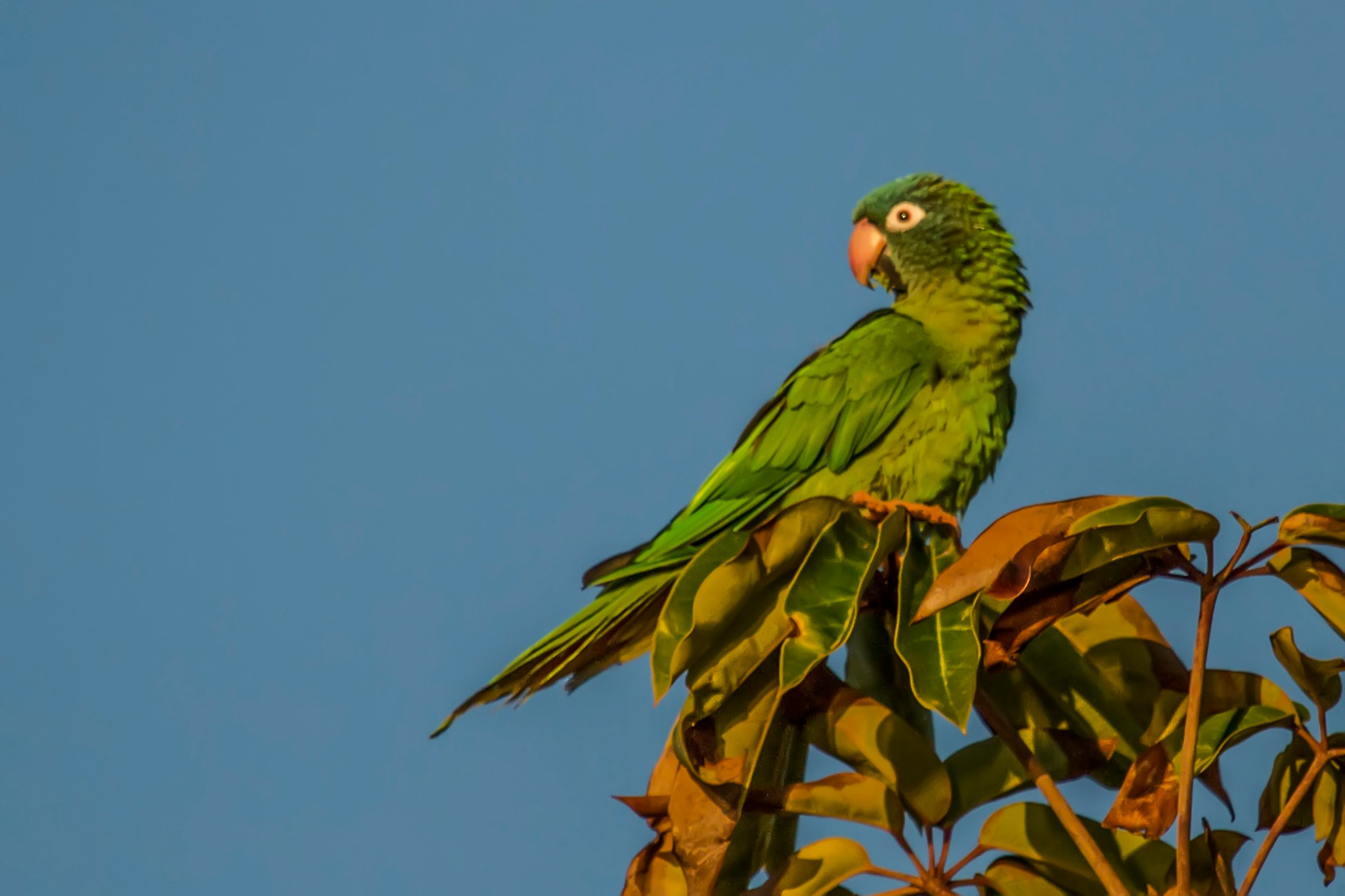 The blue-crowned parakeet, blue-crowned conure, or sharp-tailed conure (Thectocercus acuticaudatus). by sarvikpytt