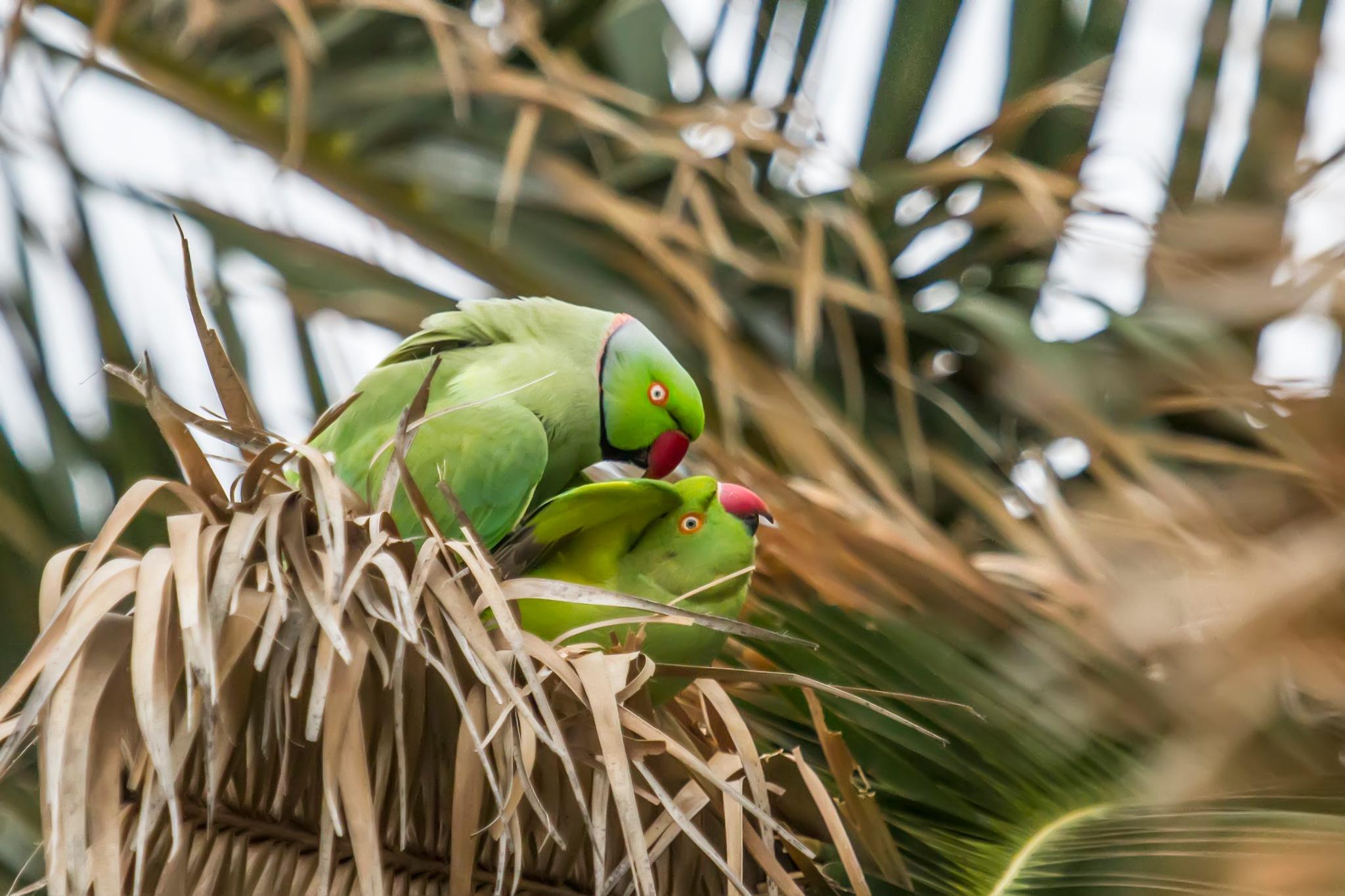 They made love.The rose-ringed parakeet (Psittacula krameri). by sarvikpytt