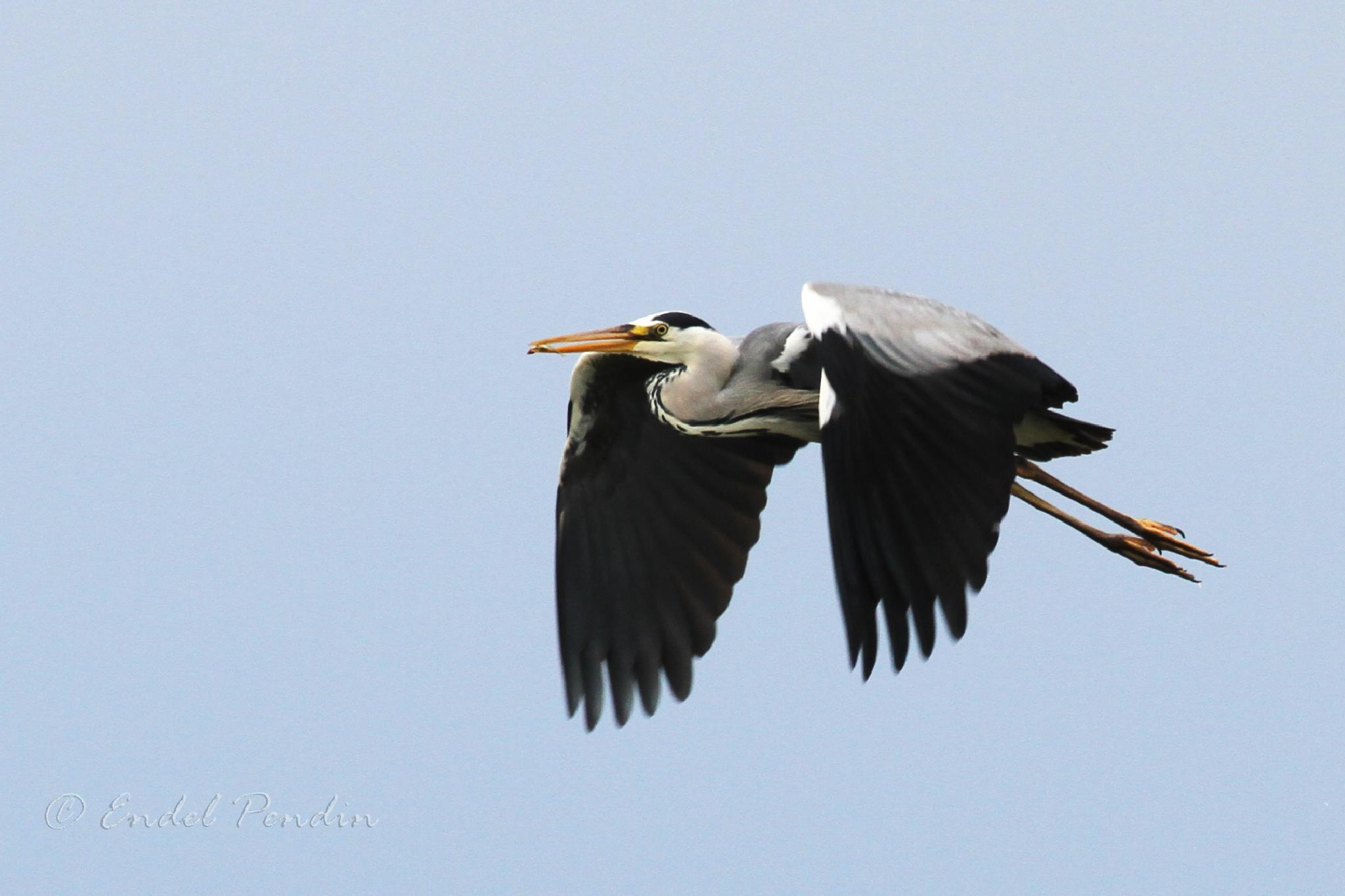 Grey heron and the little fish. by sarvikpytt