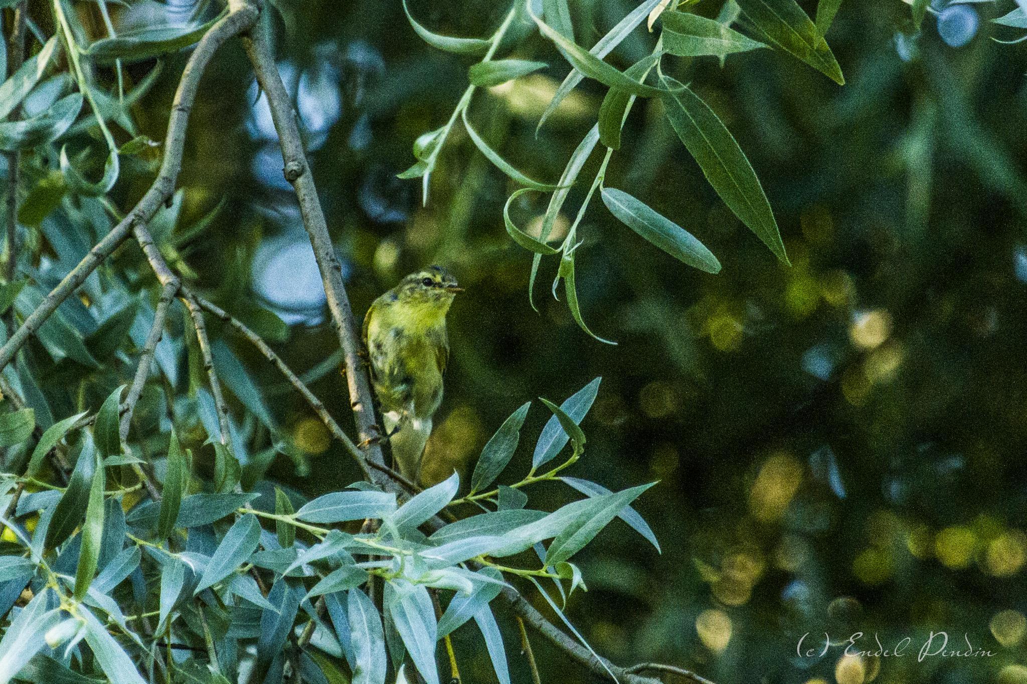 The common chiffchaff (Phylloscopus collybita). by sarvikpytt