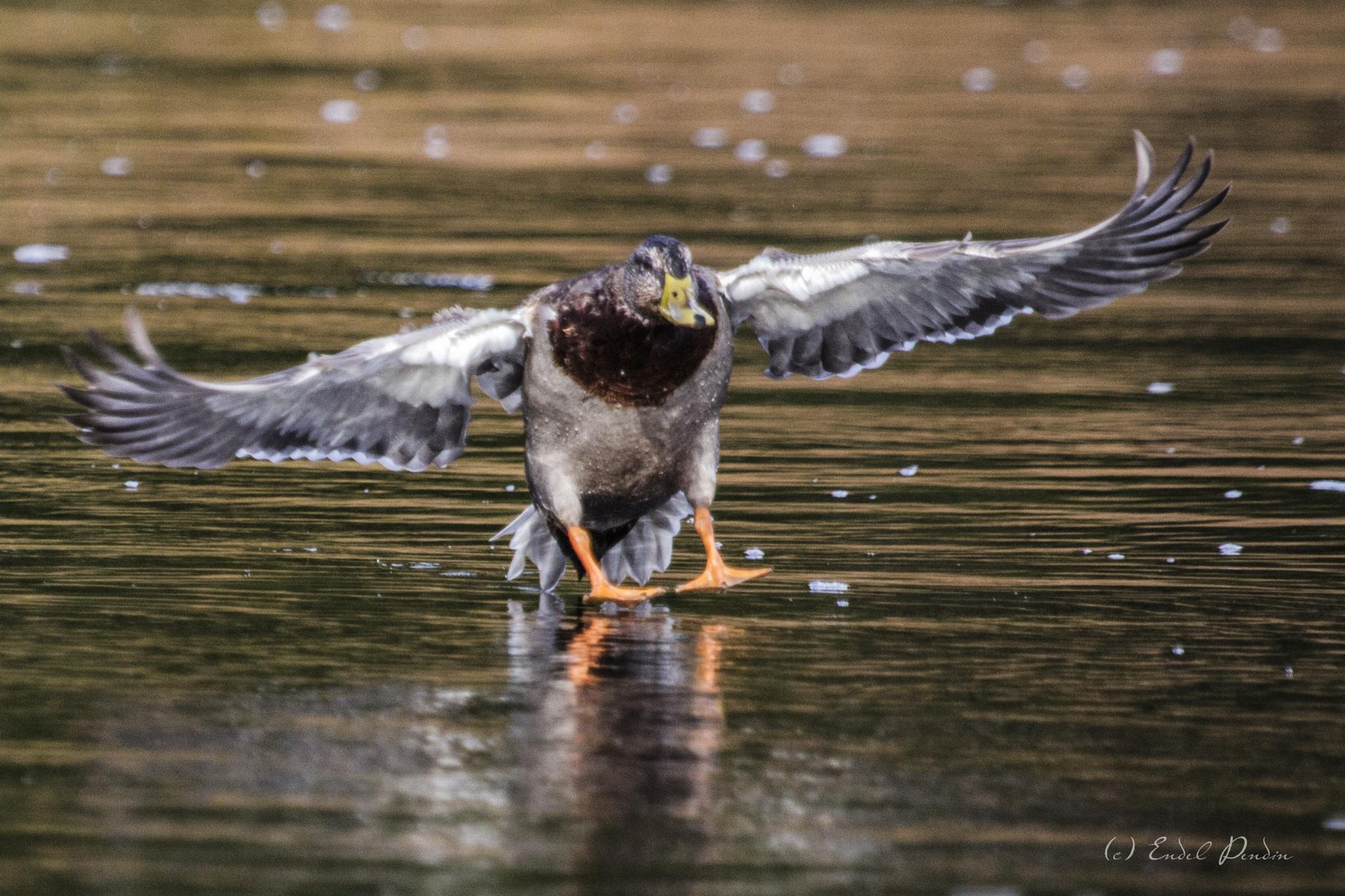The mallar or wild duck (Anas platyrhynchos) by sarvikpytt
