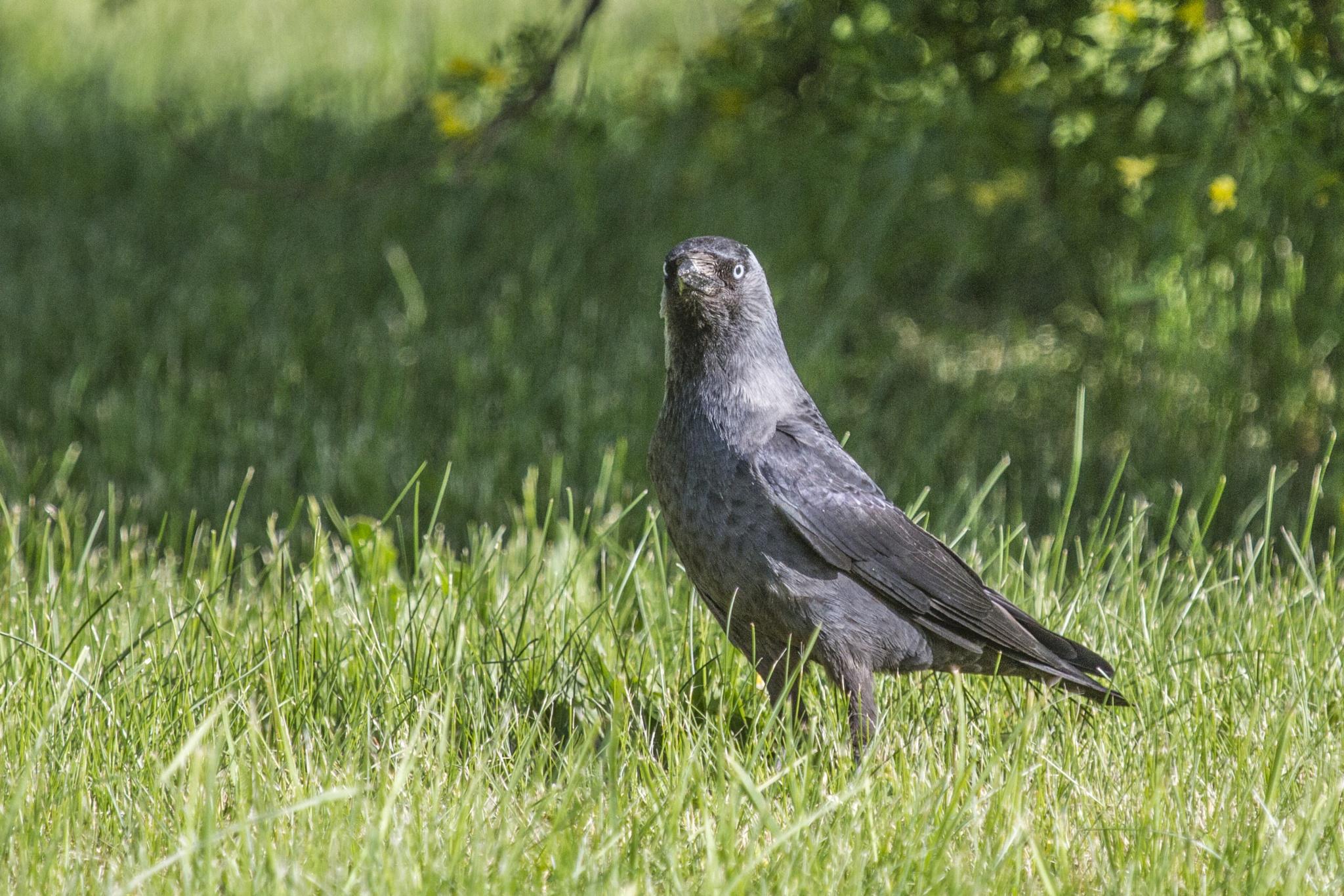The western jackdaw (Corvus monedula). by sarvikpytt