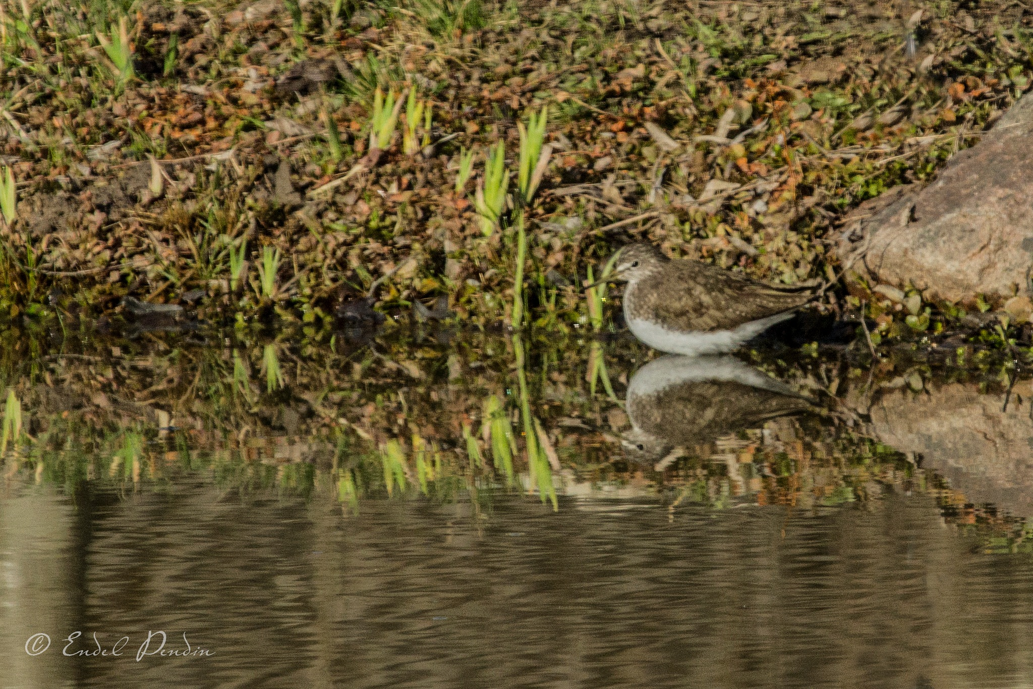 The common sandpiper (Actitis hypoleucos). by sarvikpytt