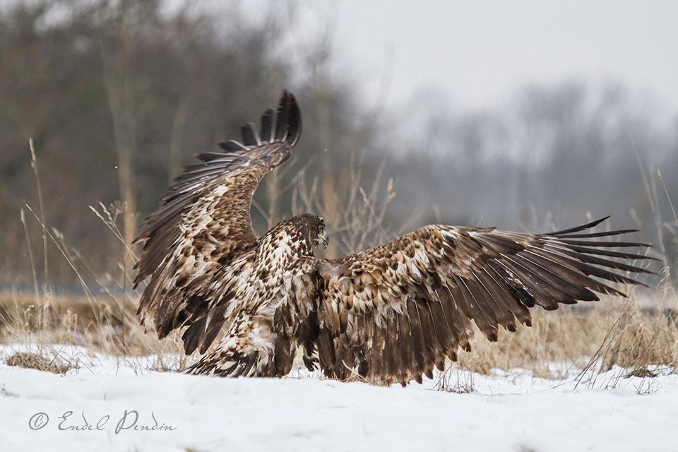 The white-tailed eagle (Haliaeetus albicilla) by sarvikpytt