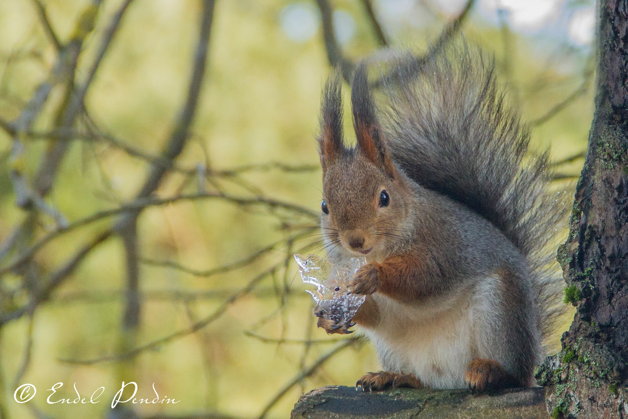 Squirrel feast on ice. by sarvikpytt