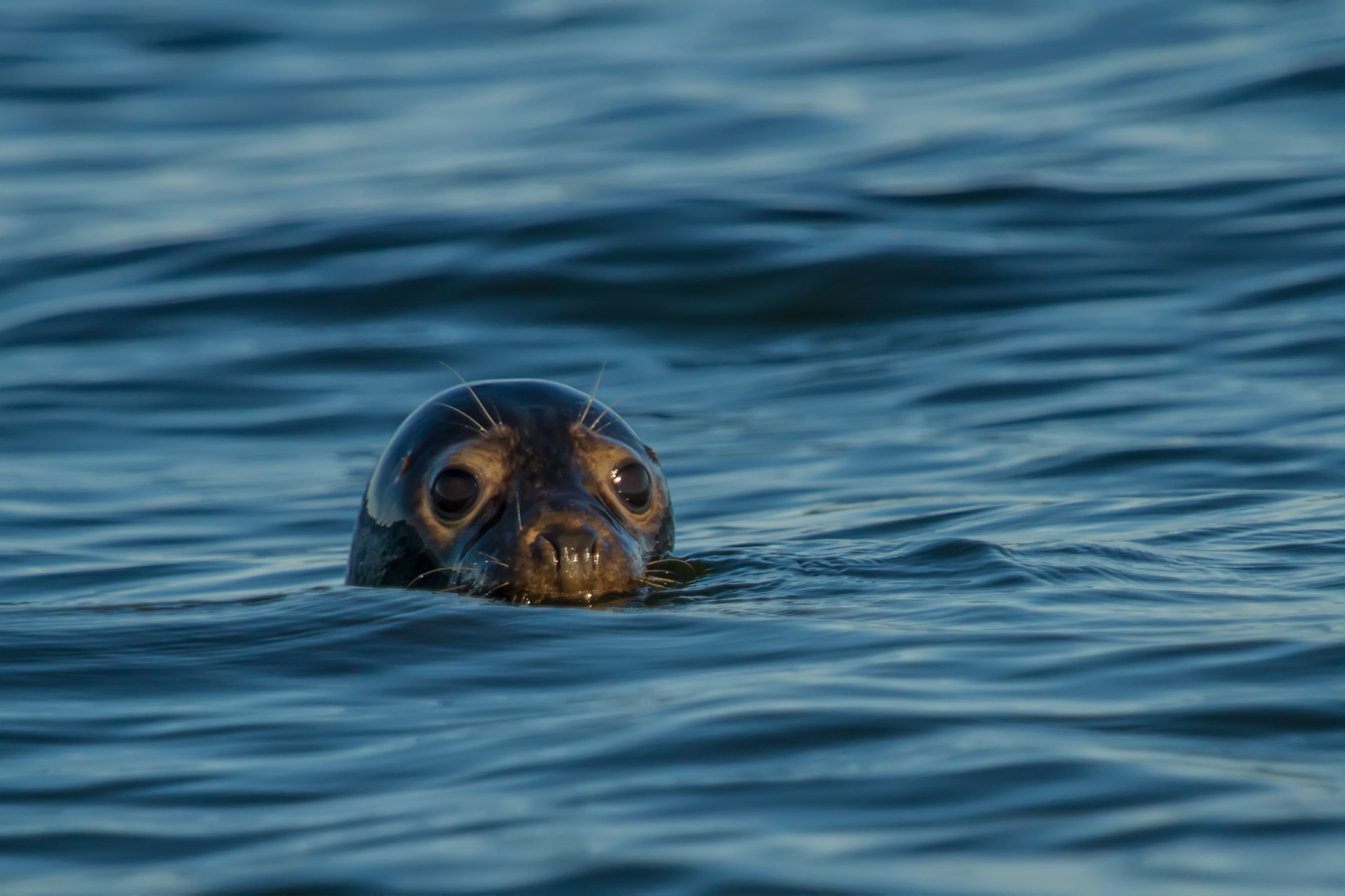 The grey seal (Halichoerus grypus). by sarvikpytt