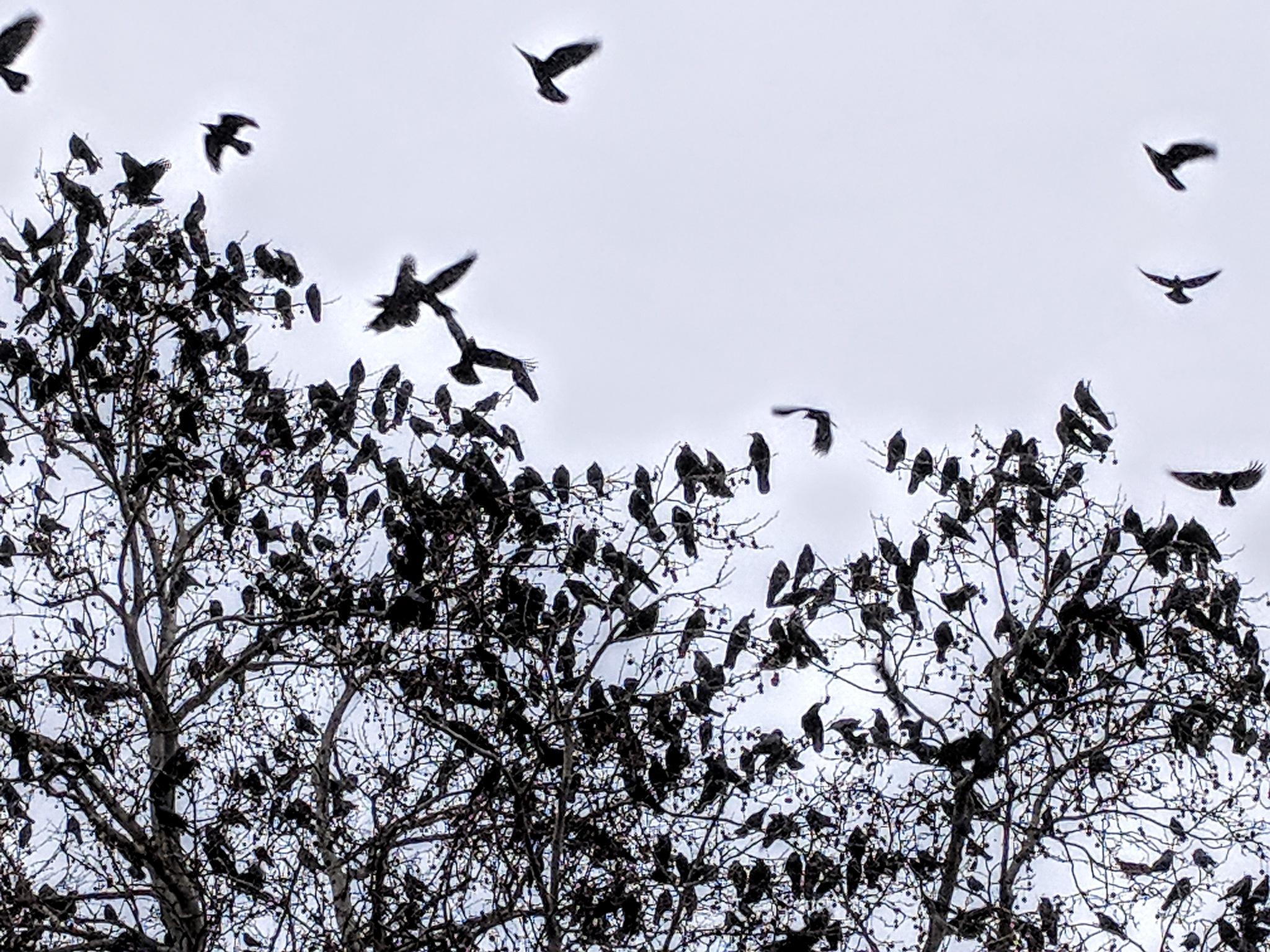 Black birds by Branchy