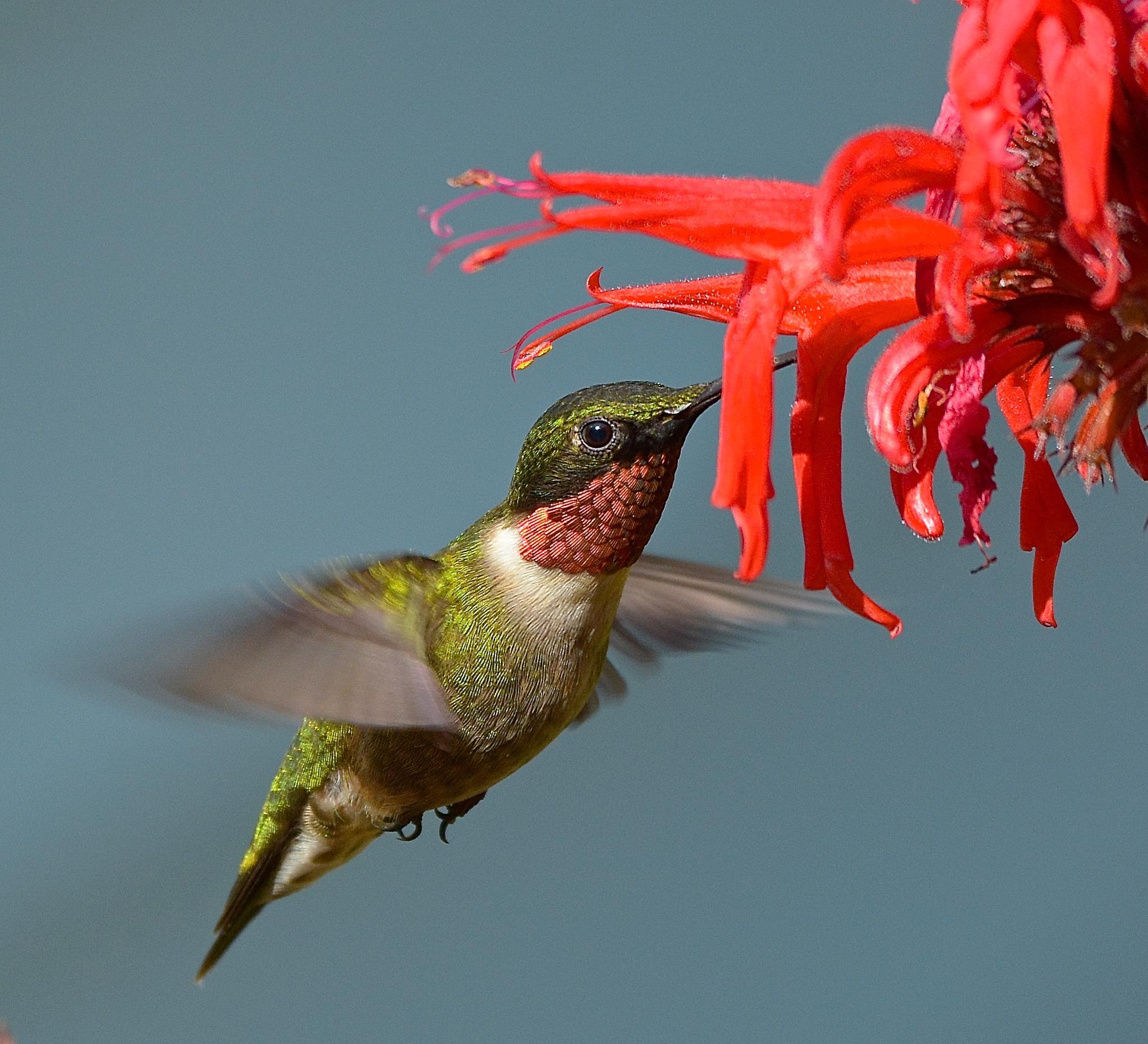 Ruby-throated hummingbird by rnc21