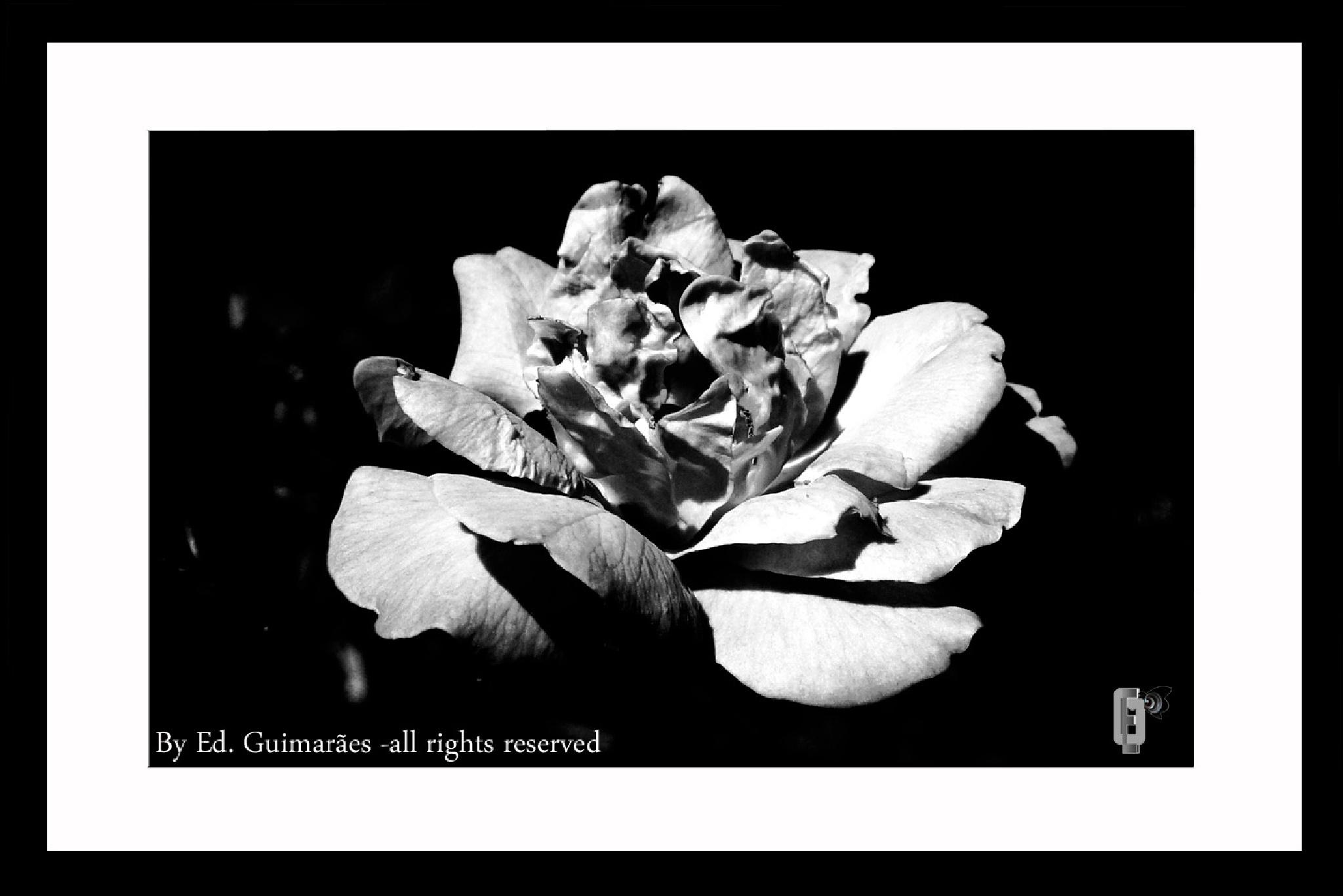 Rose by Ed. Guimarães