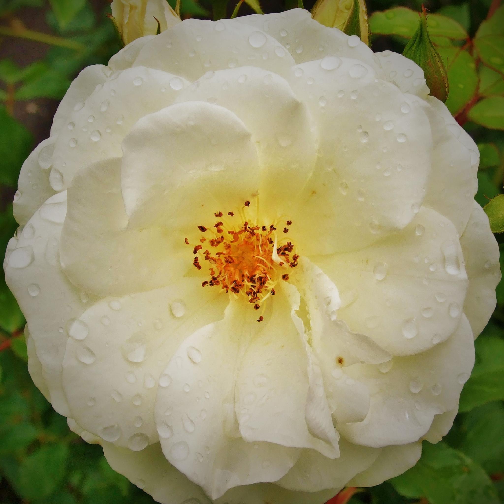 rose by vangral