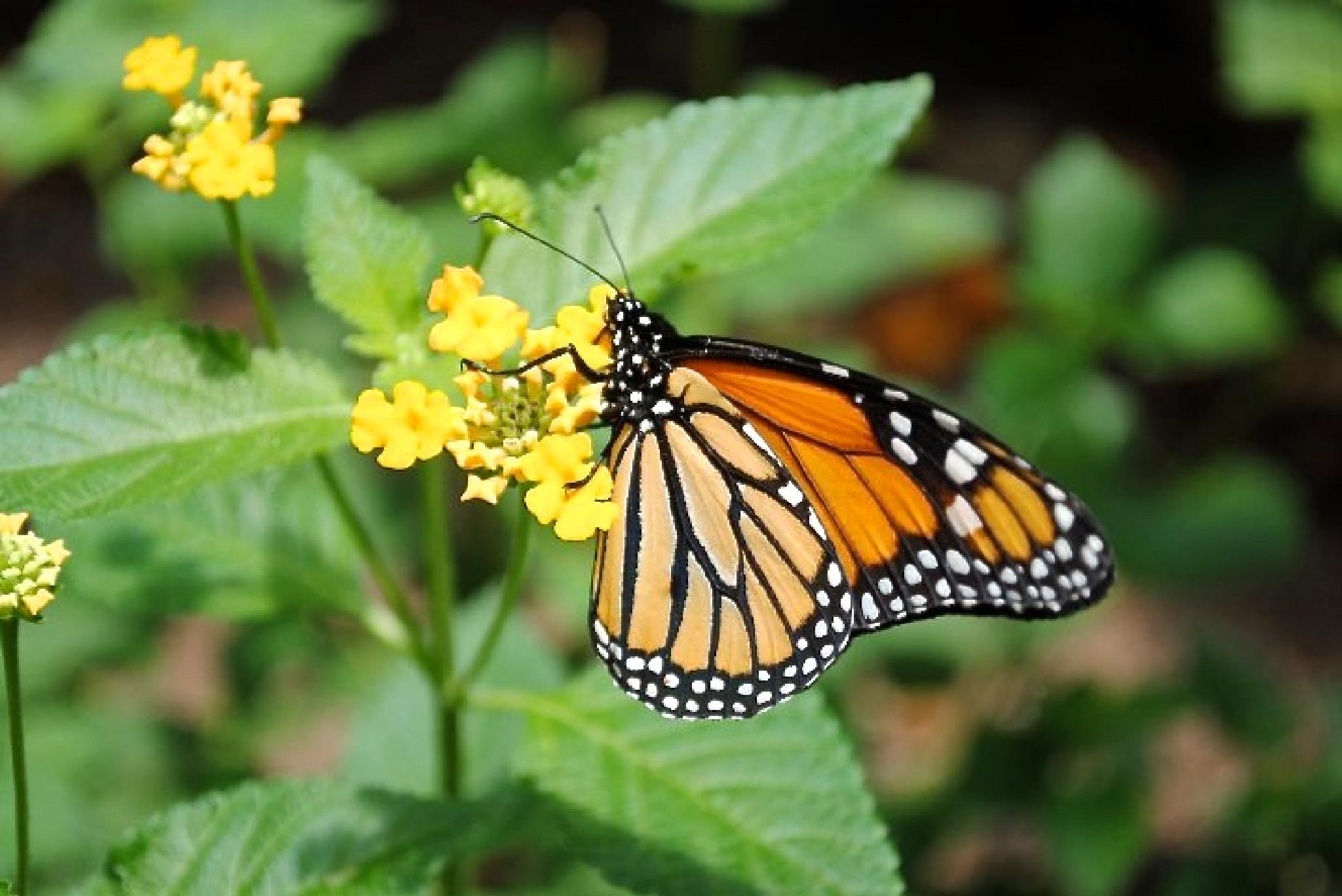 Save the Monarch Butterfly by Kathy Lebron Photography