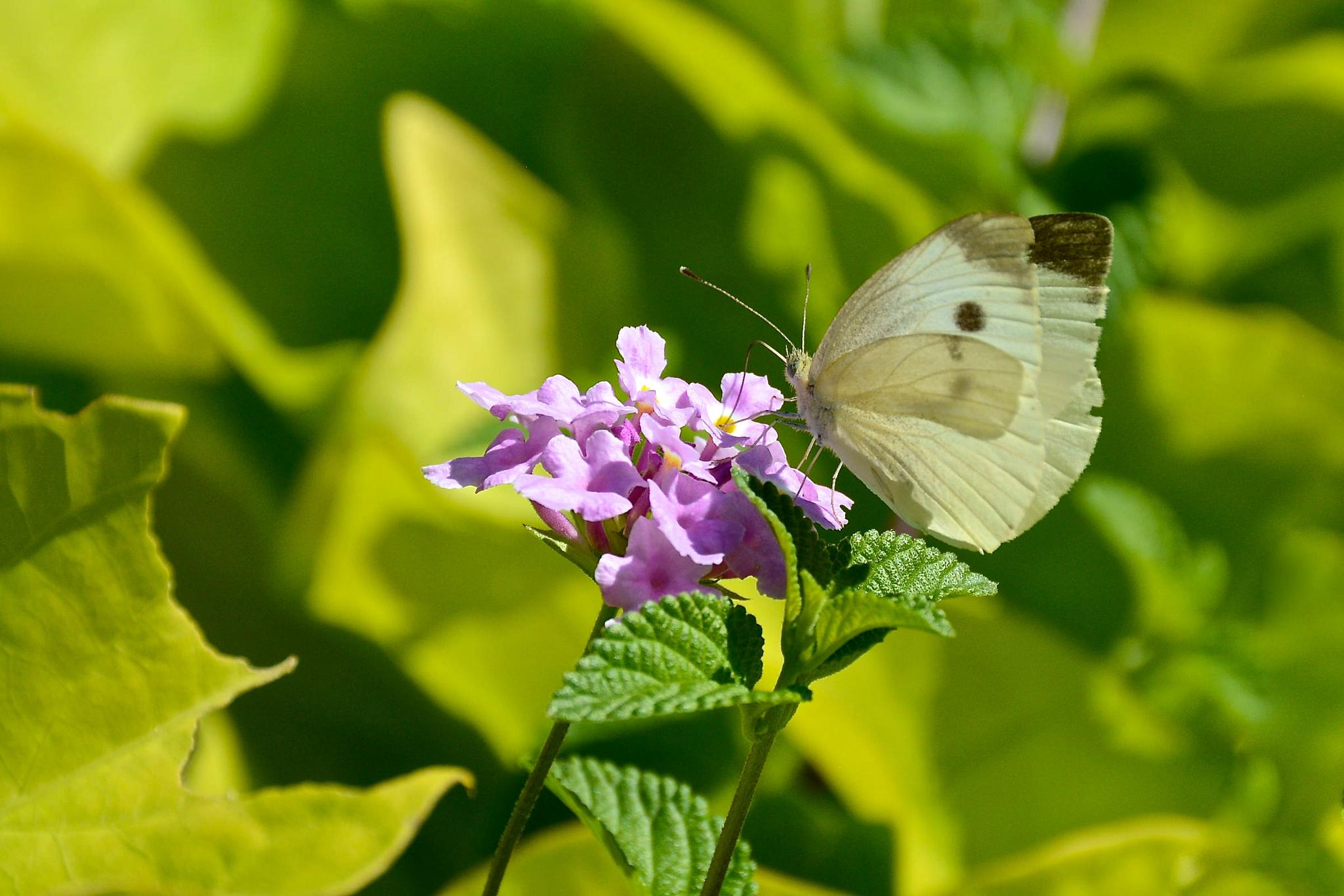 Cabbage White Butterfly by Kathy Lebron Photography