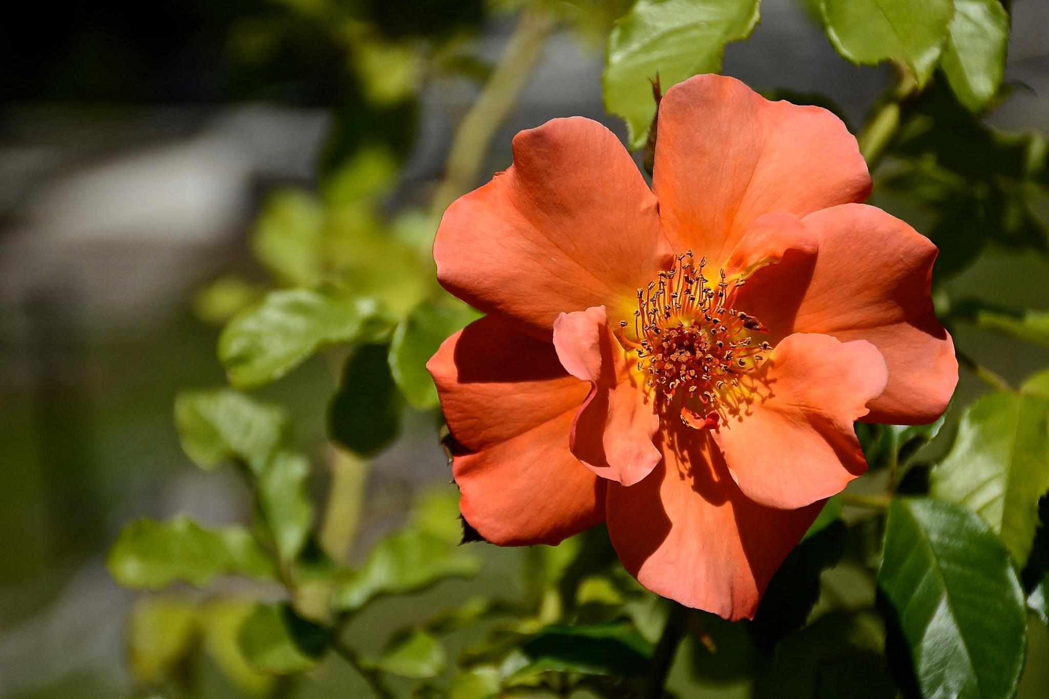 Apricot Rose by Kathy Lebron Photography