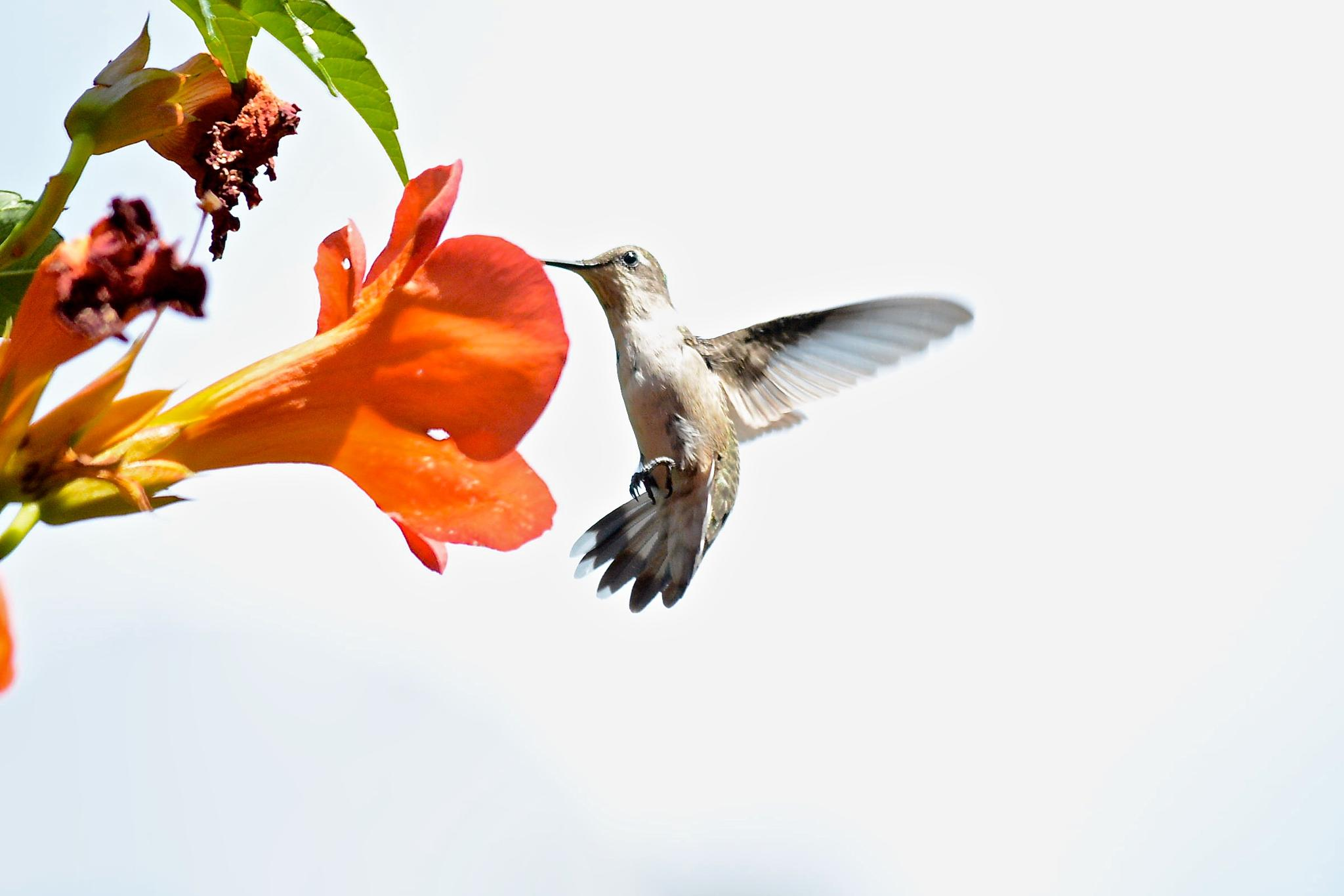 Female Ruby Throated Hummingbird at Trumpet Flower by Kathy Lebron Photography