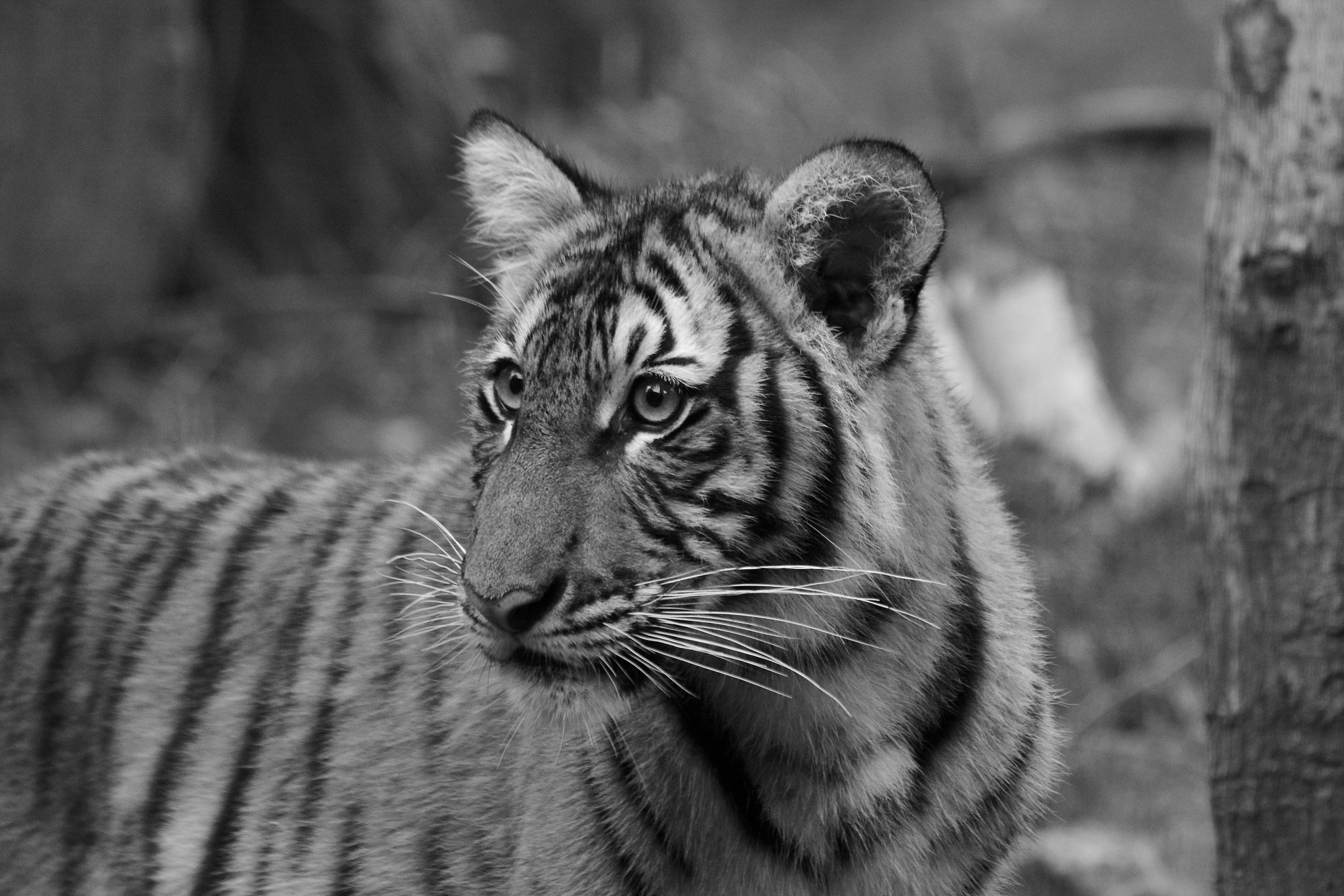 Nadia and Azul are 10 month old Malayan Tiger cubs at the Bronx Zoo. There are only 250 Malayan Tige by Kathy Lebron Photography