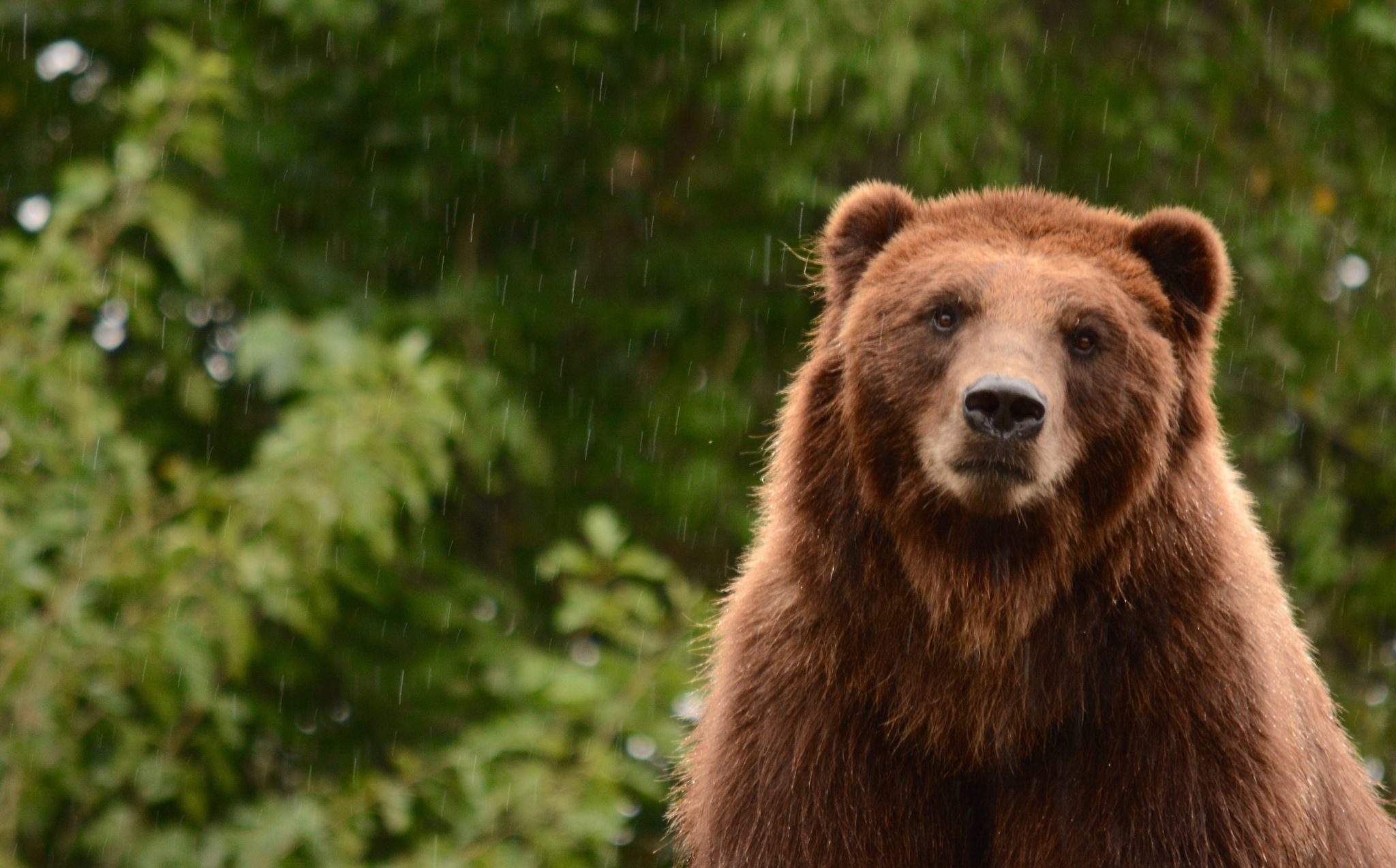 Grizzly in the Rain by Kathy Lebron Photography