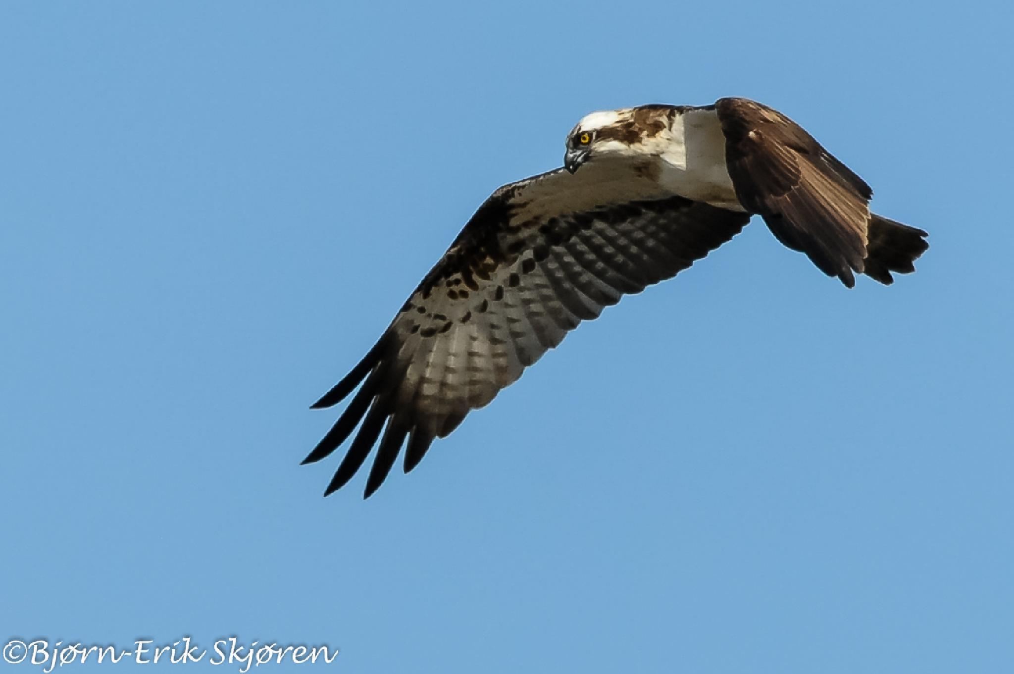 Osprey - Pandion haliaetus by Bjørn-Erik Skjøren