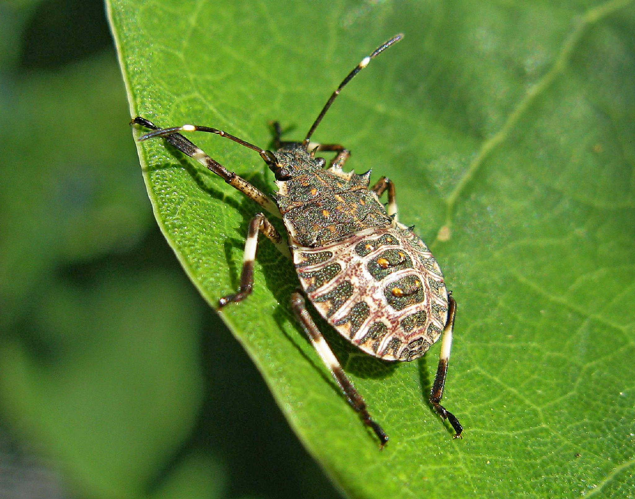 Brown Marmorated Stink Bug Nymph by MikeCarr