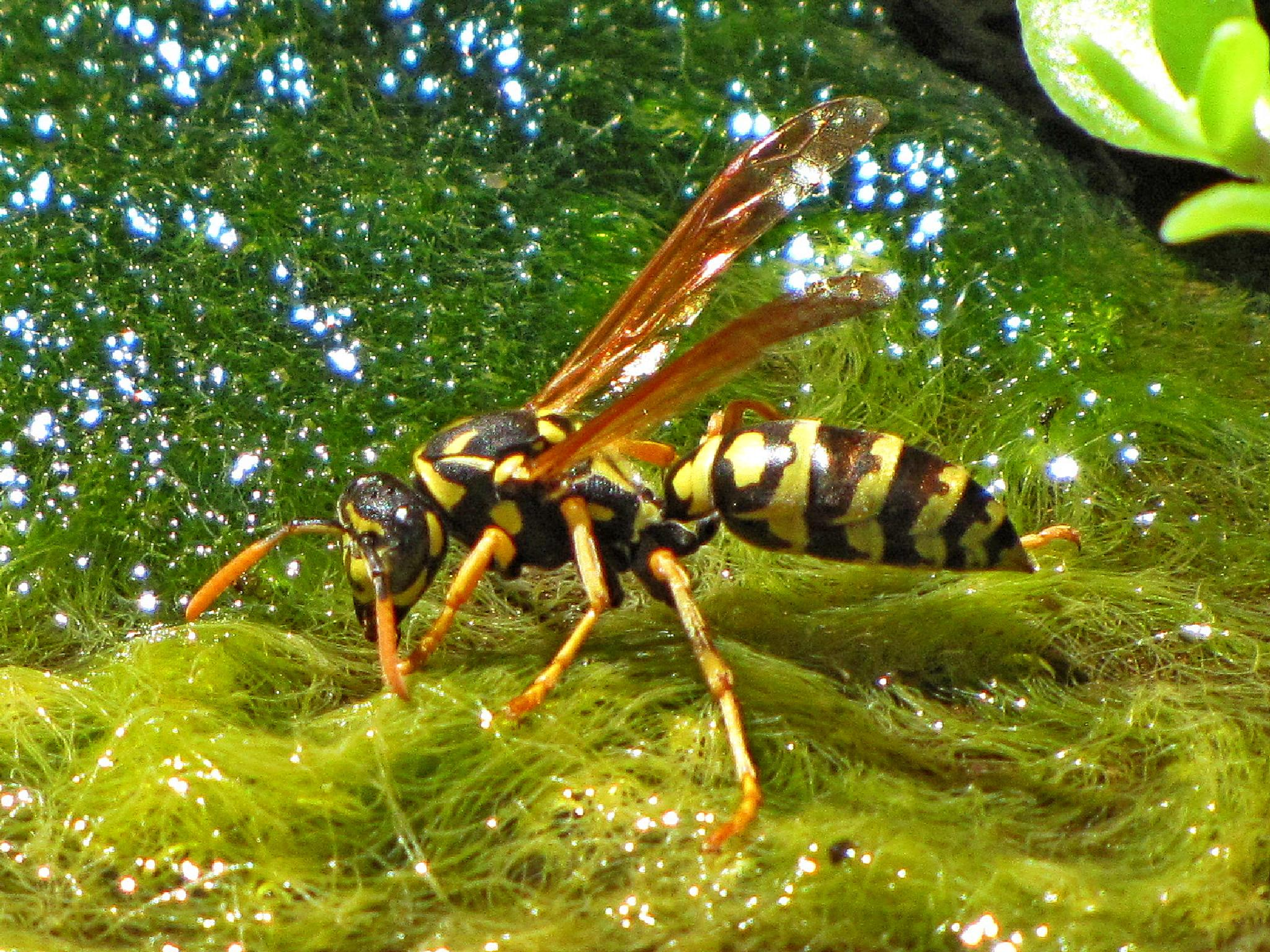 Wasp by MikeCarr