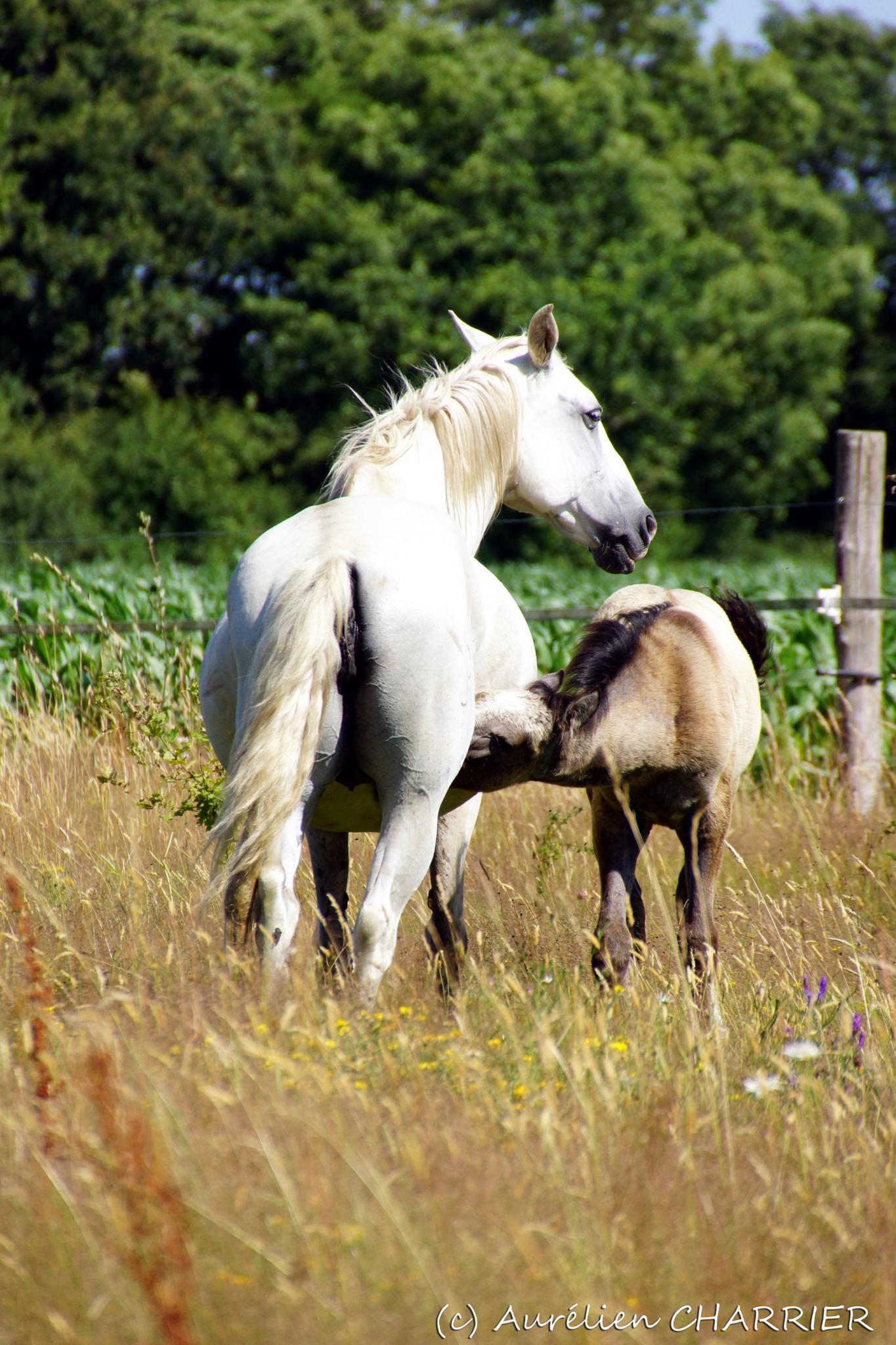 The thirsty foal by Aurélien CHARRIER