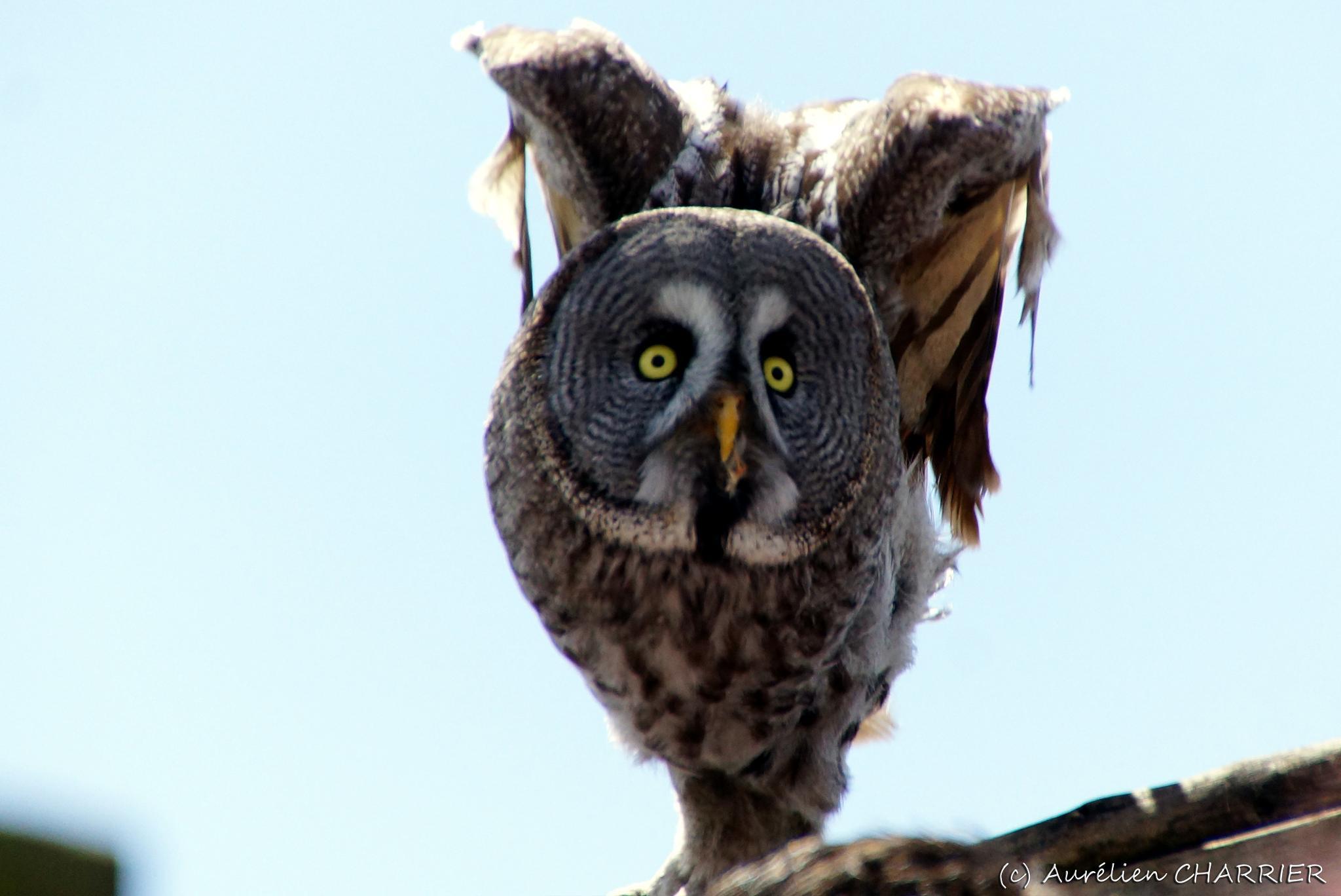 Great Gray Owl by Aurélien CHARRIER