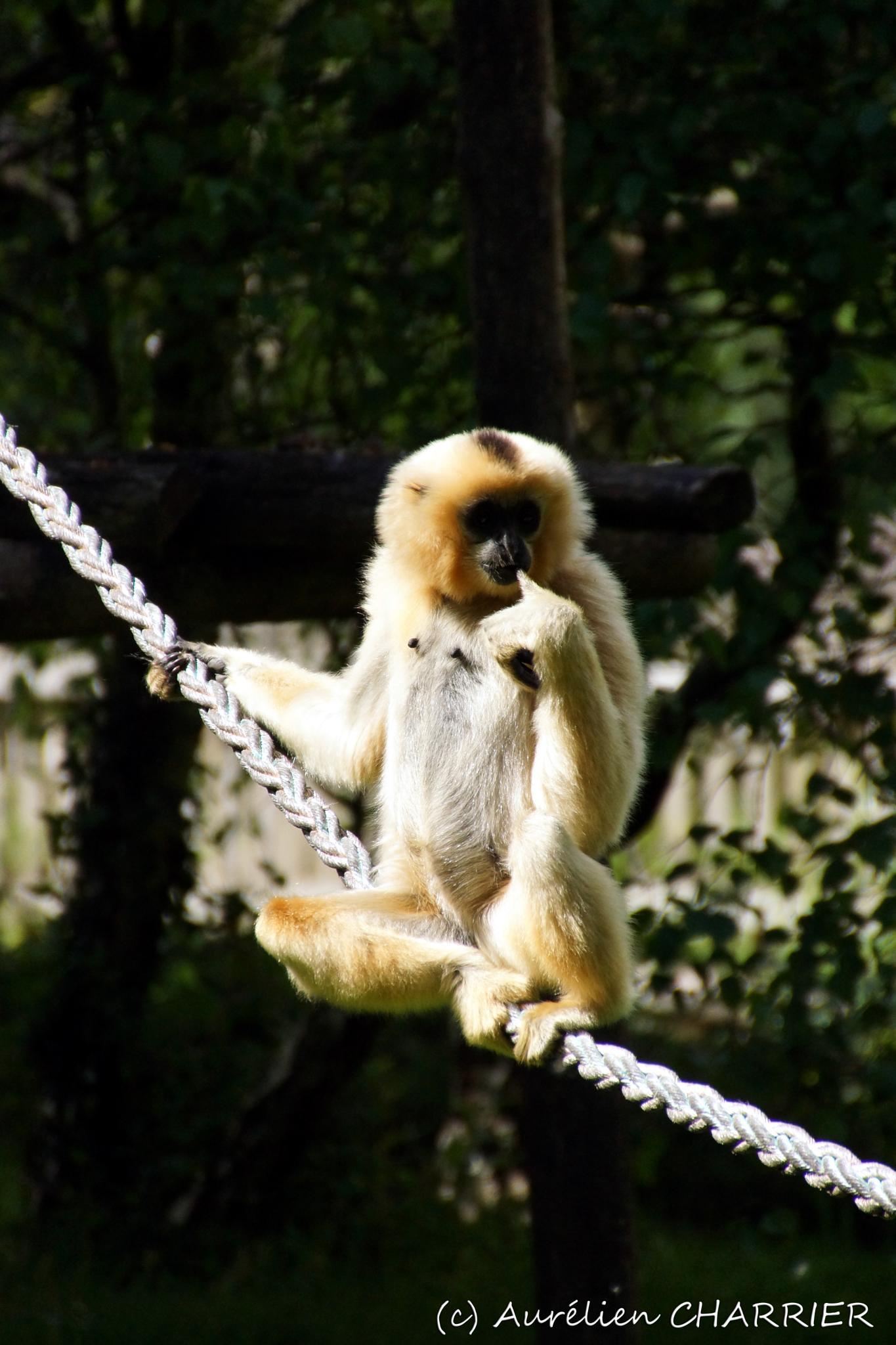 The Shy Gibbon by Aurélien CHARRIER