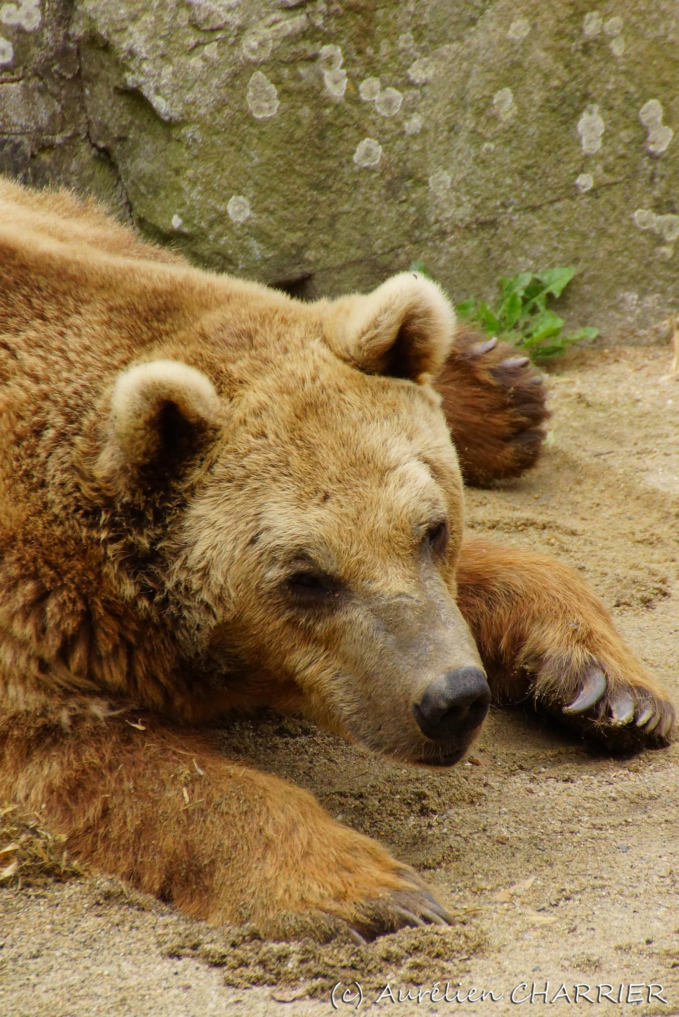 Brown Bear by Aurélien CHARRIER