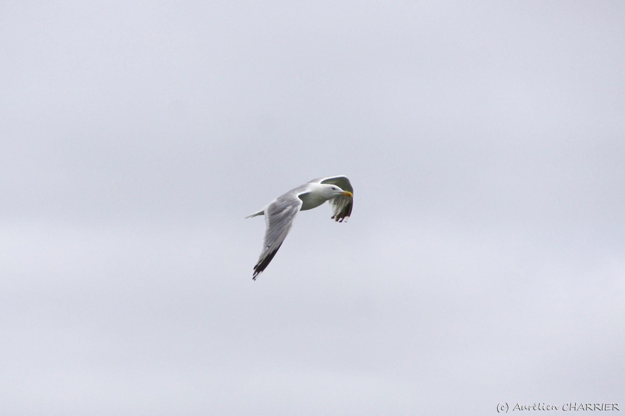Herring gull by Aurélien CHARRIER