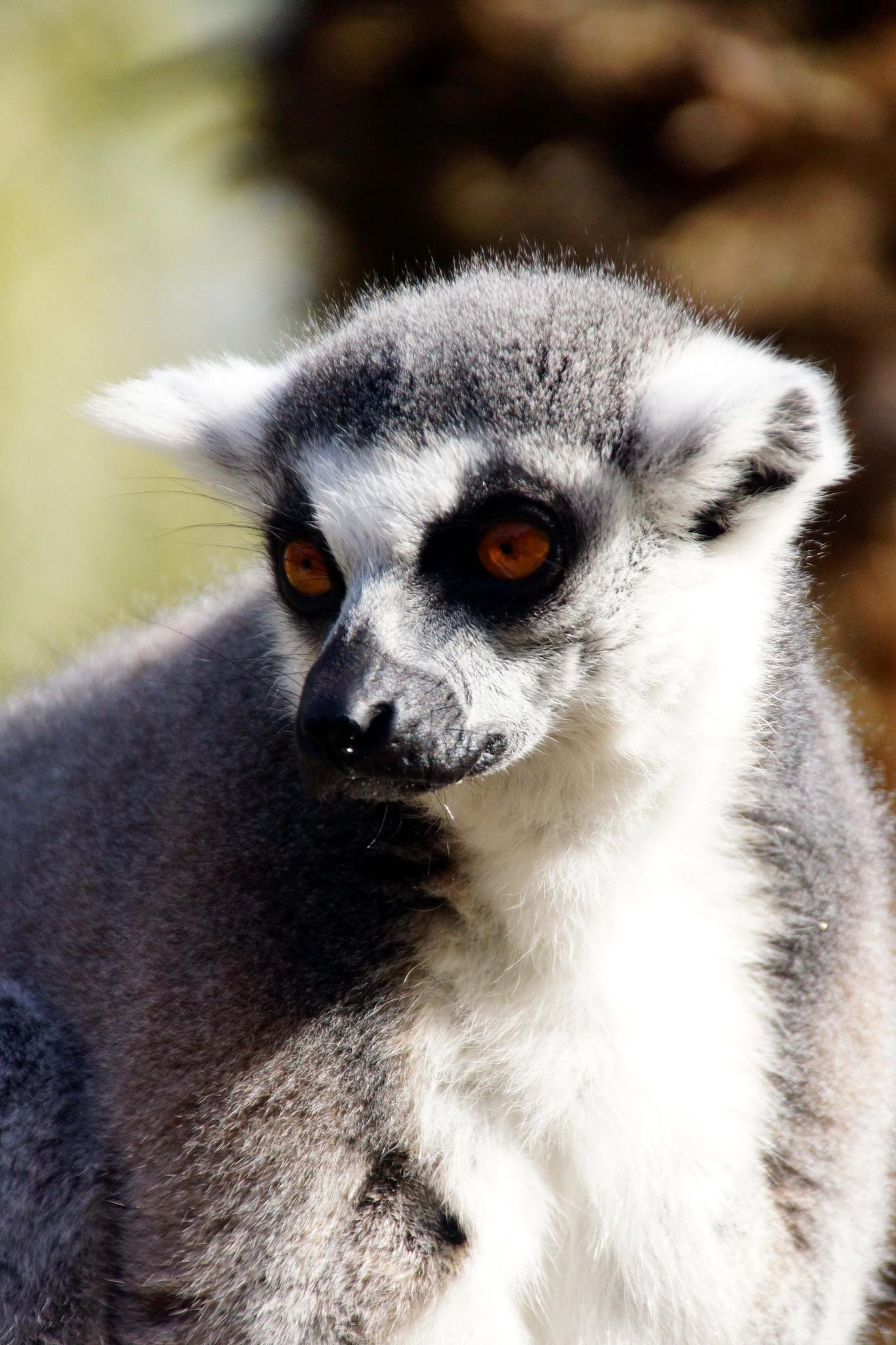Lemur Maki Catta by Aurélien CHARRIER