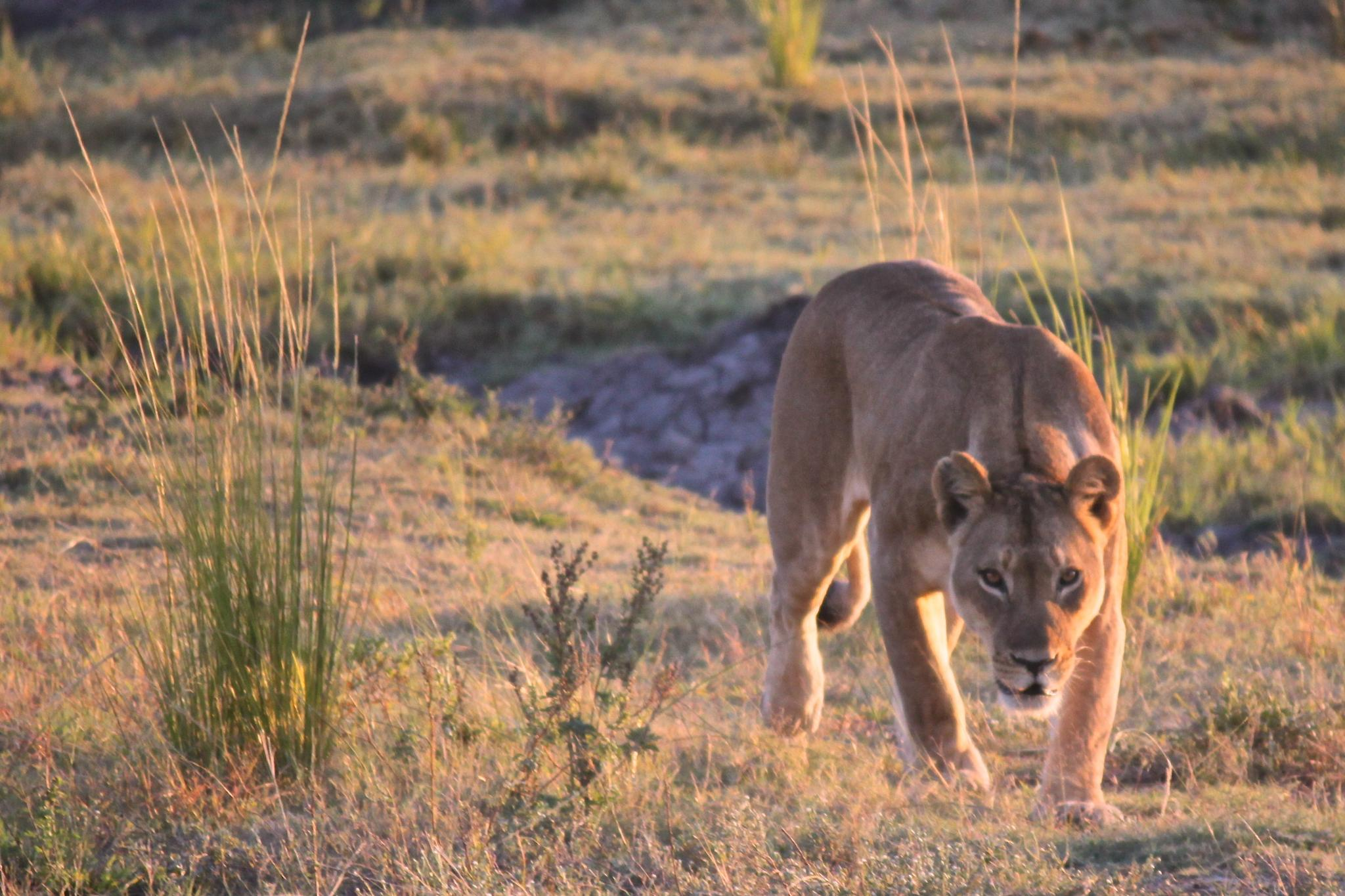 Lioness focusing on prey by patricia_collins