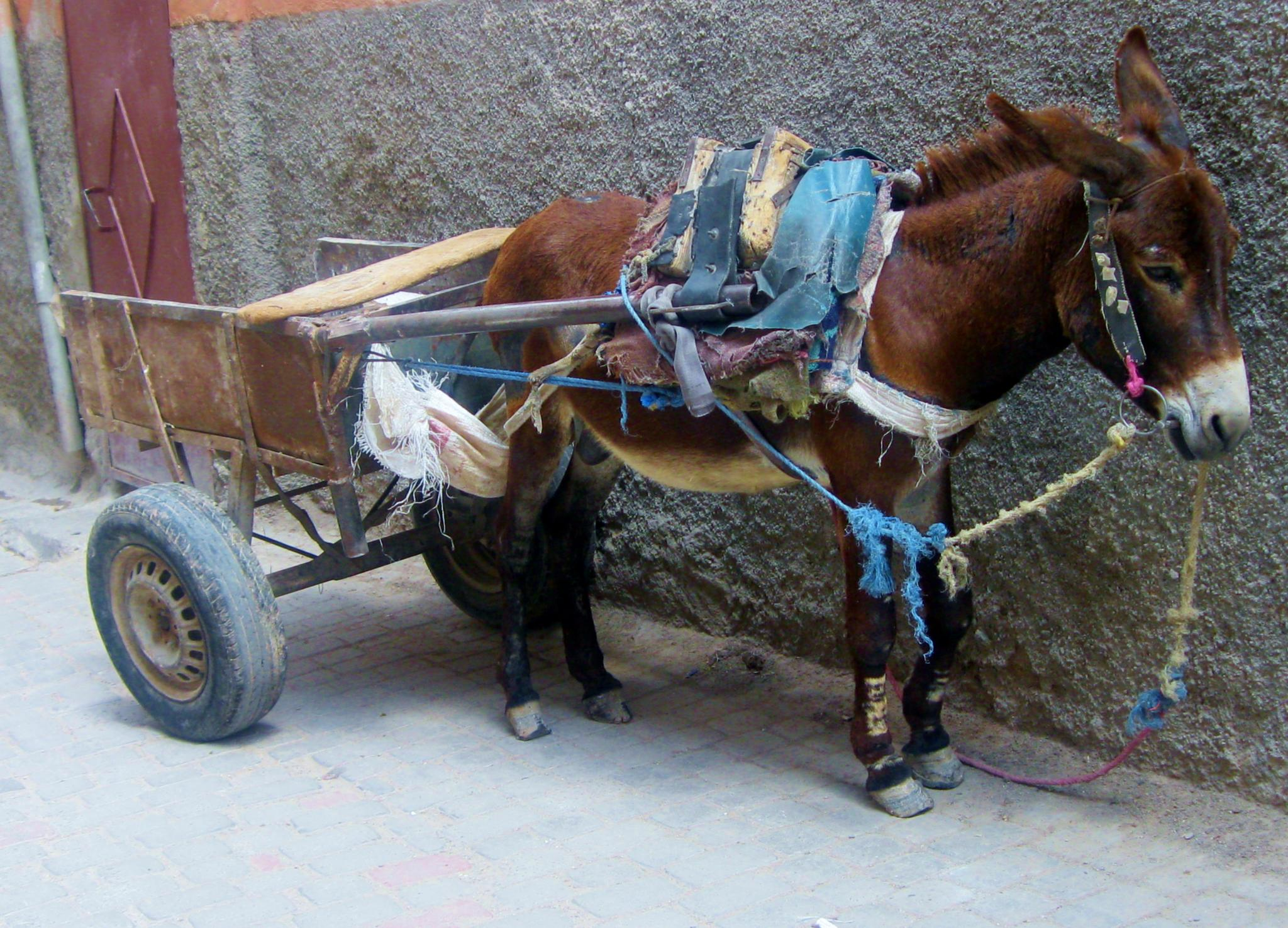 Working Donkey in Marrakech by patricia_collins