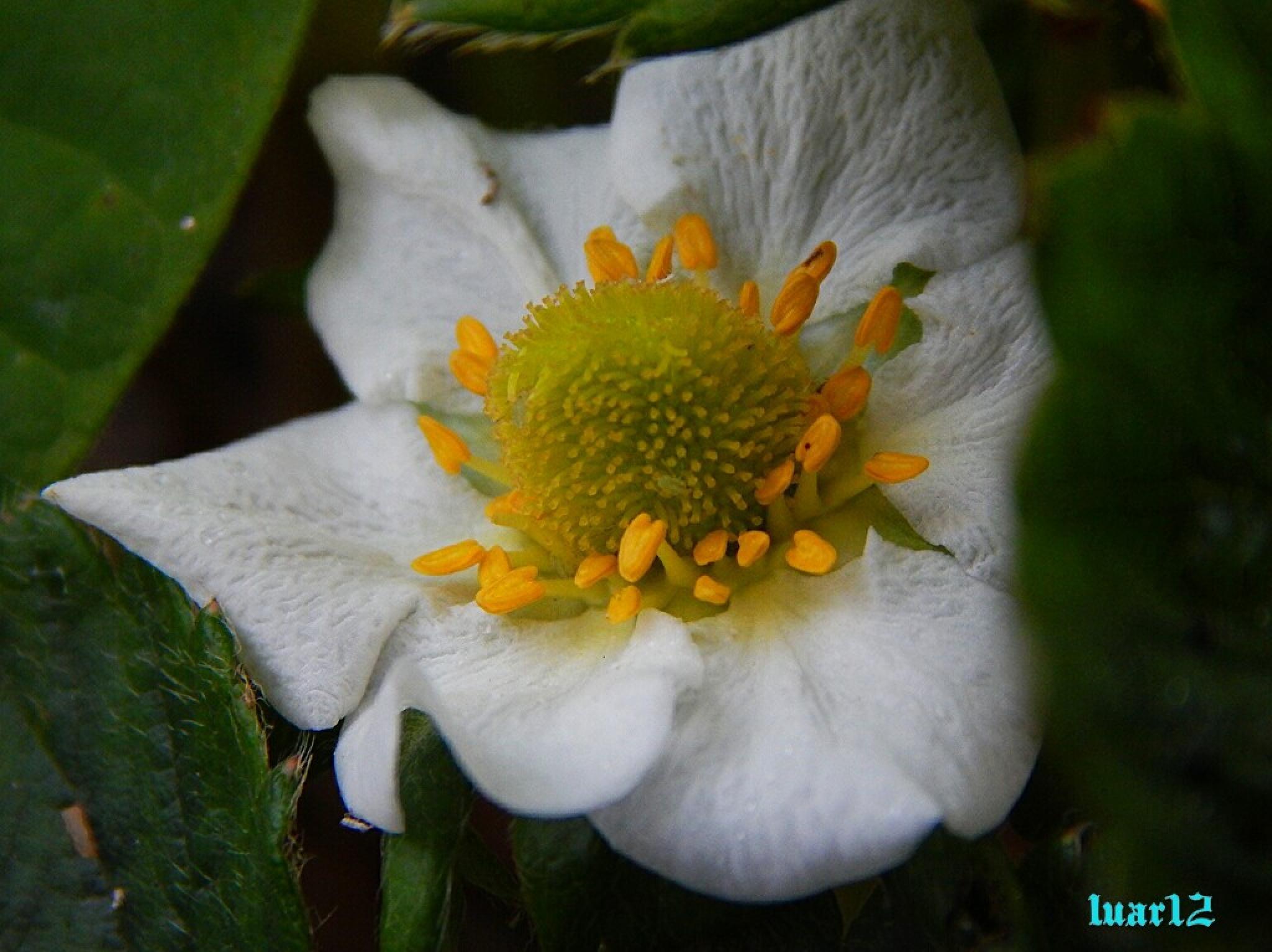Flor do morangueiro by luar12