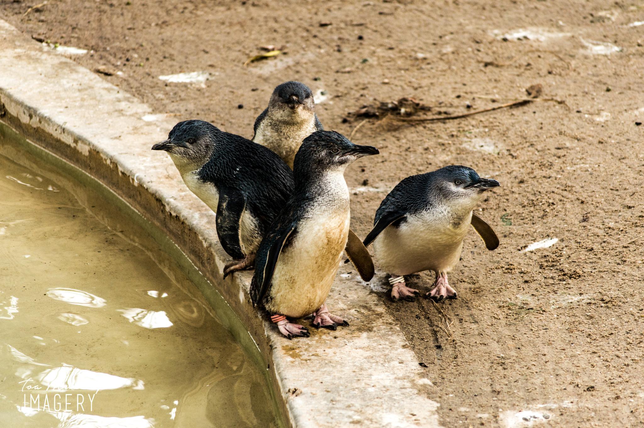 Photo in Animal #penguins #animals #nature #wildlife #australia