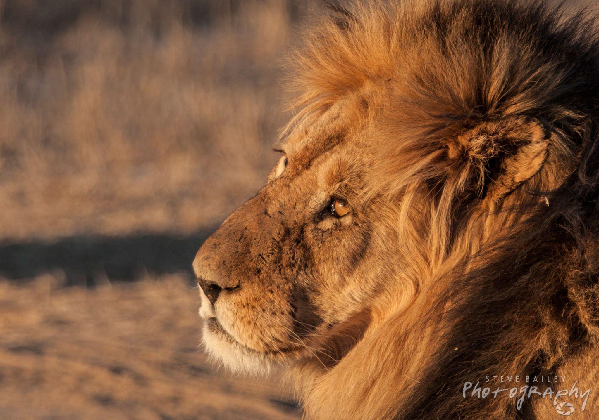 Golden Lion  by SteveBailey