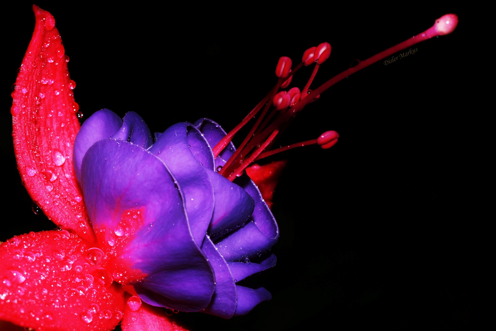"A ""beauty"" in the flower world! by Disler Markus"
