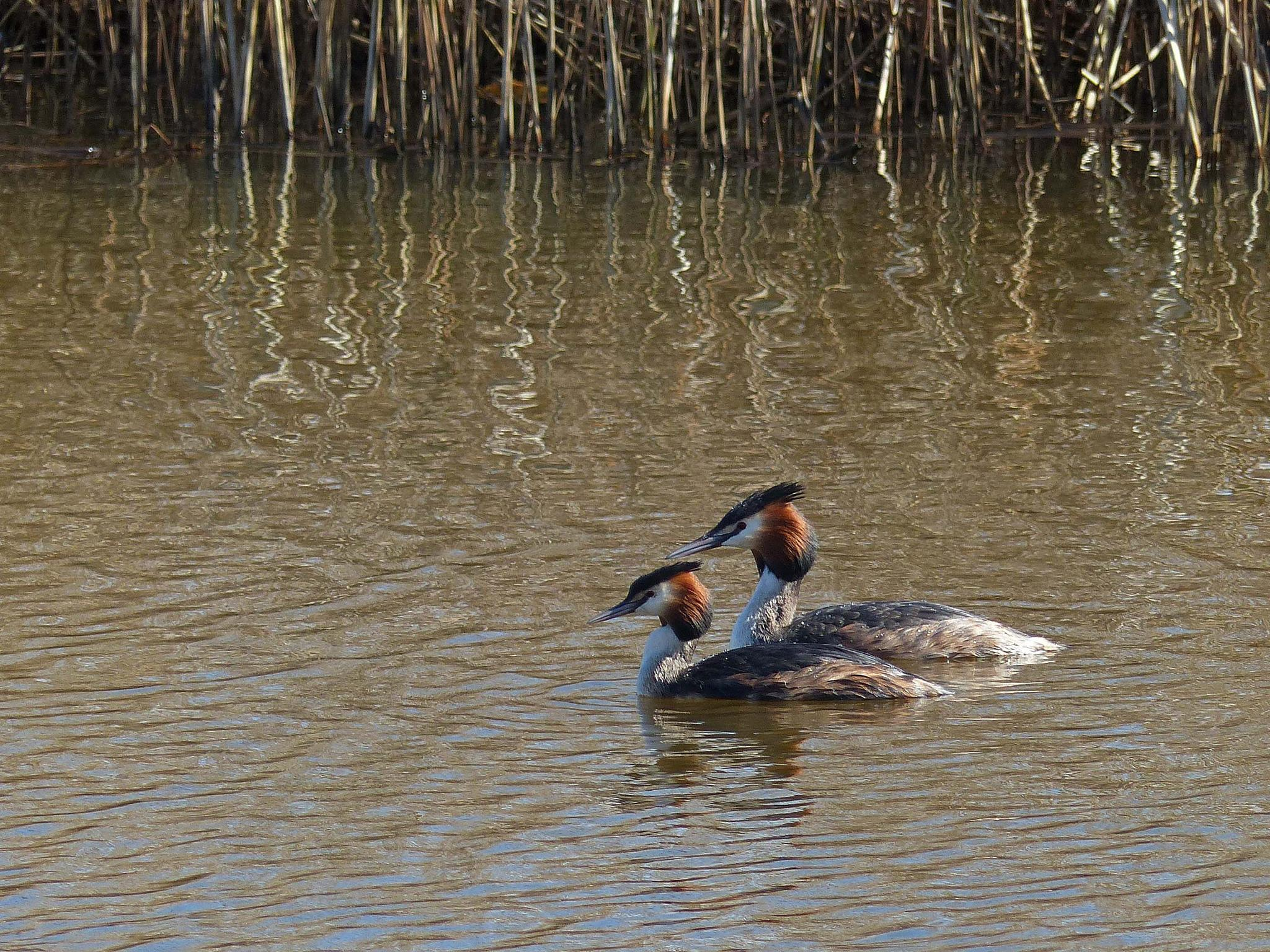 Grebes couple by Marianne Henstra