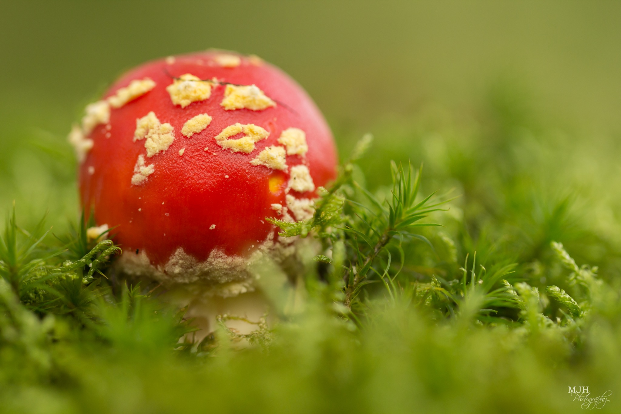 Fly agaric by Marianne Henstra