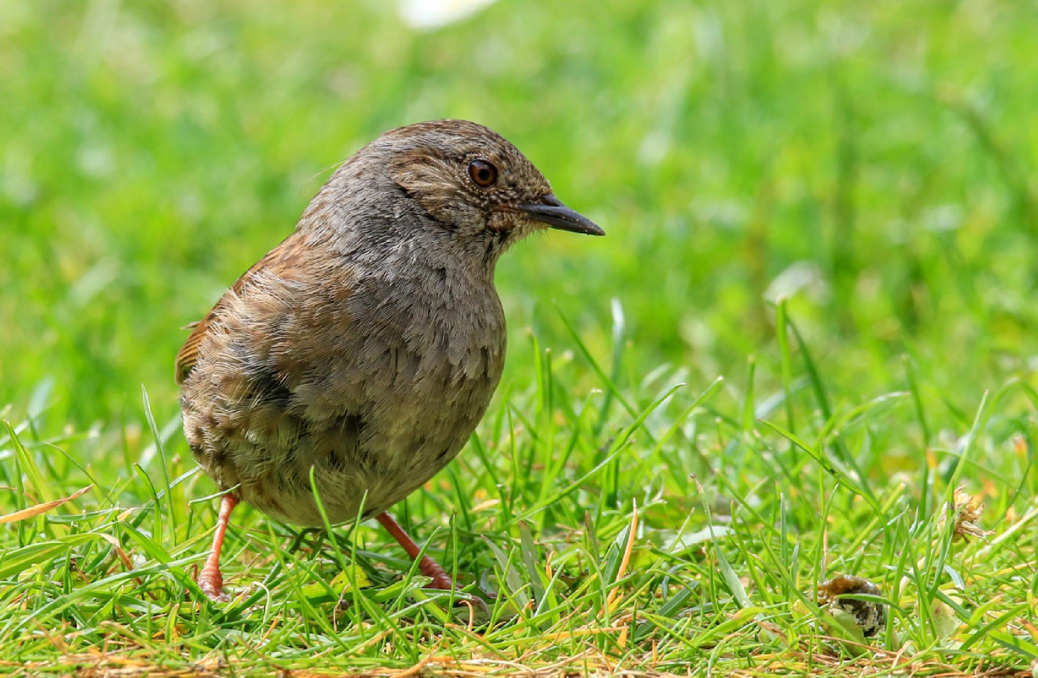 Young Dunnock feeding in the garden by MarkBriscoe