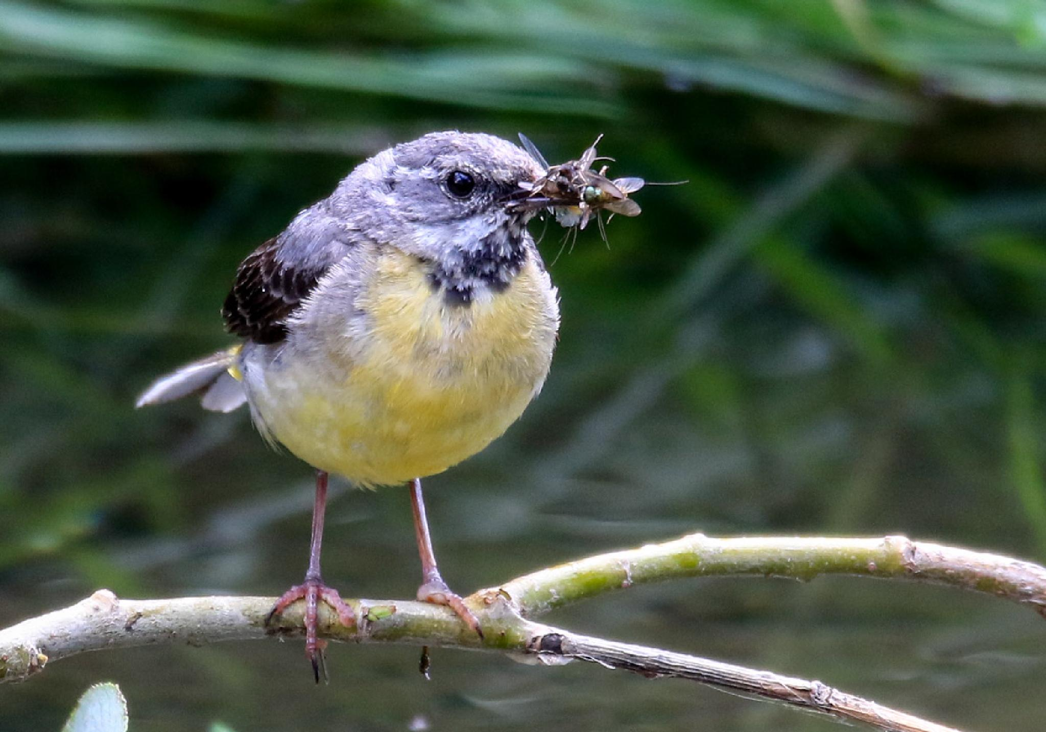 Grey Wagtail with full beak of bugs by MarkBriscoe
