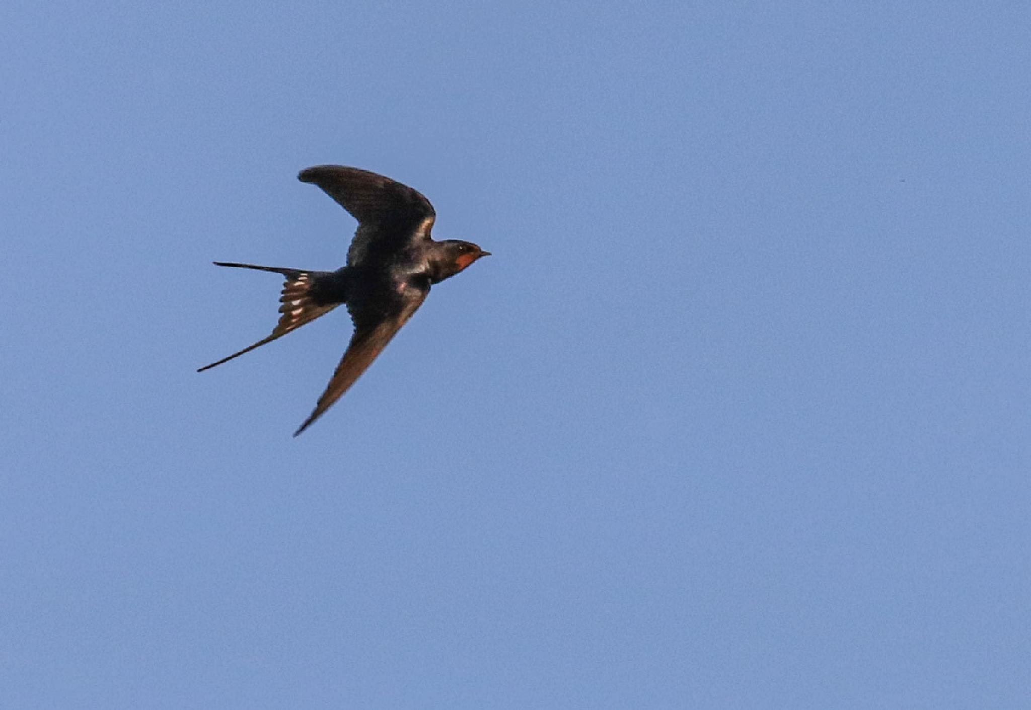 Swallow in flight by MarkBriscoe
