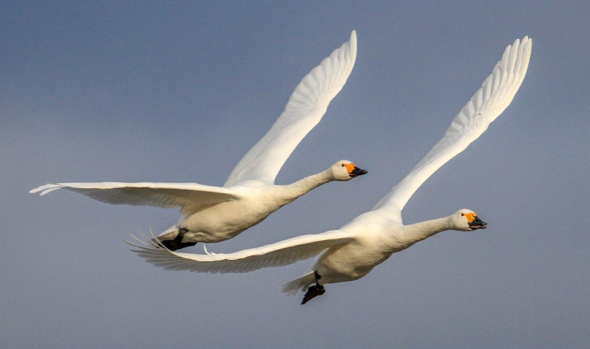 Swans flying in tandem by MarkBriscoe