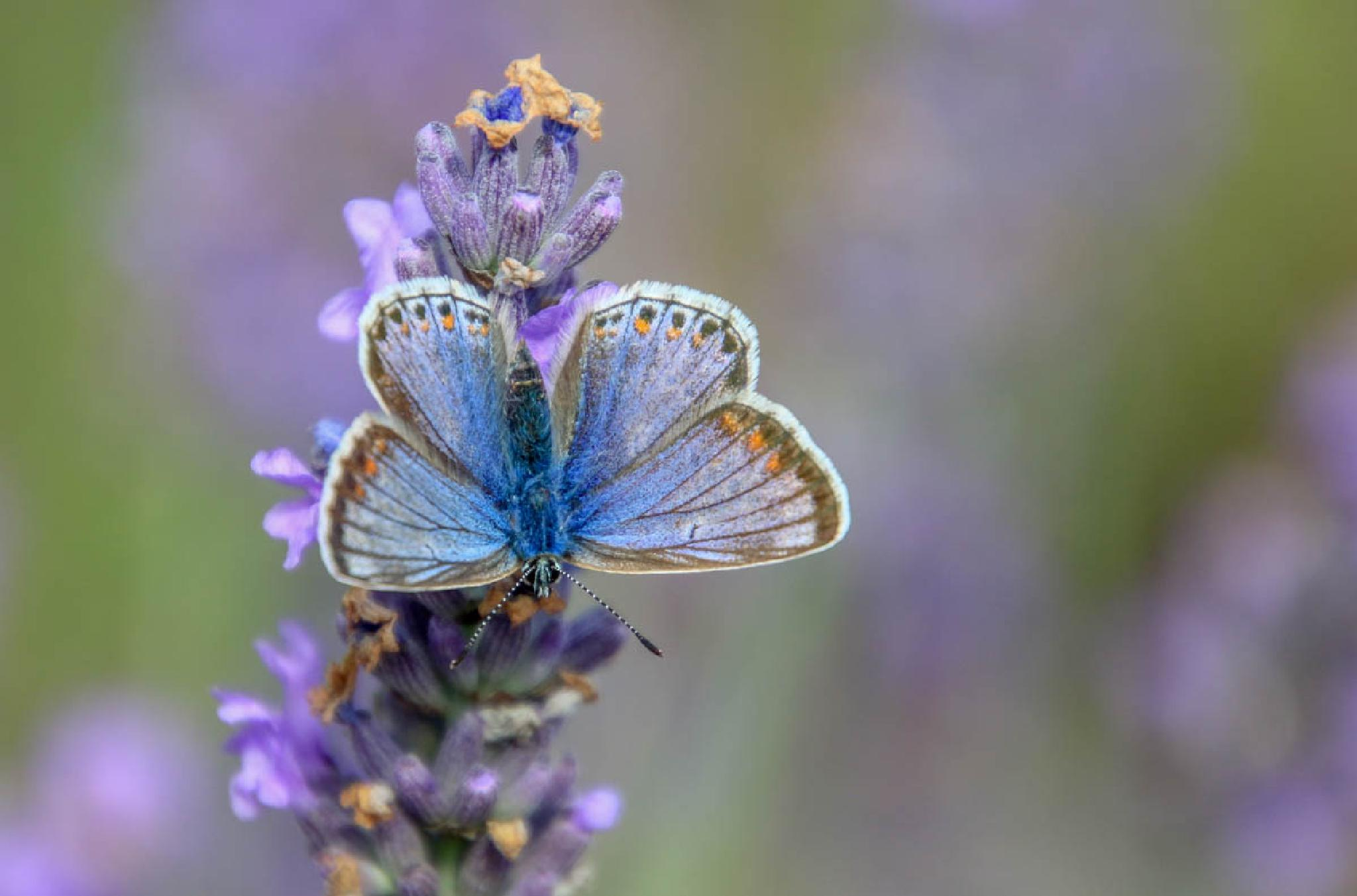 Common blue butterfly by MarkBriscoe