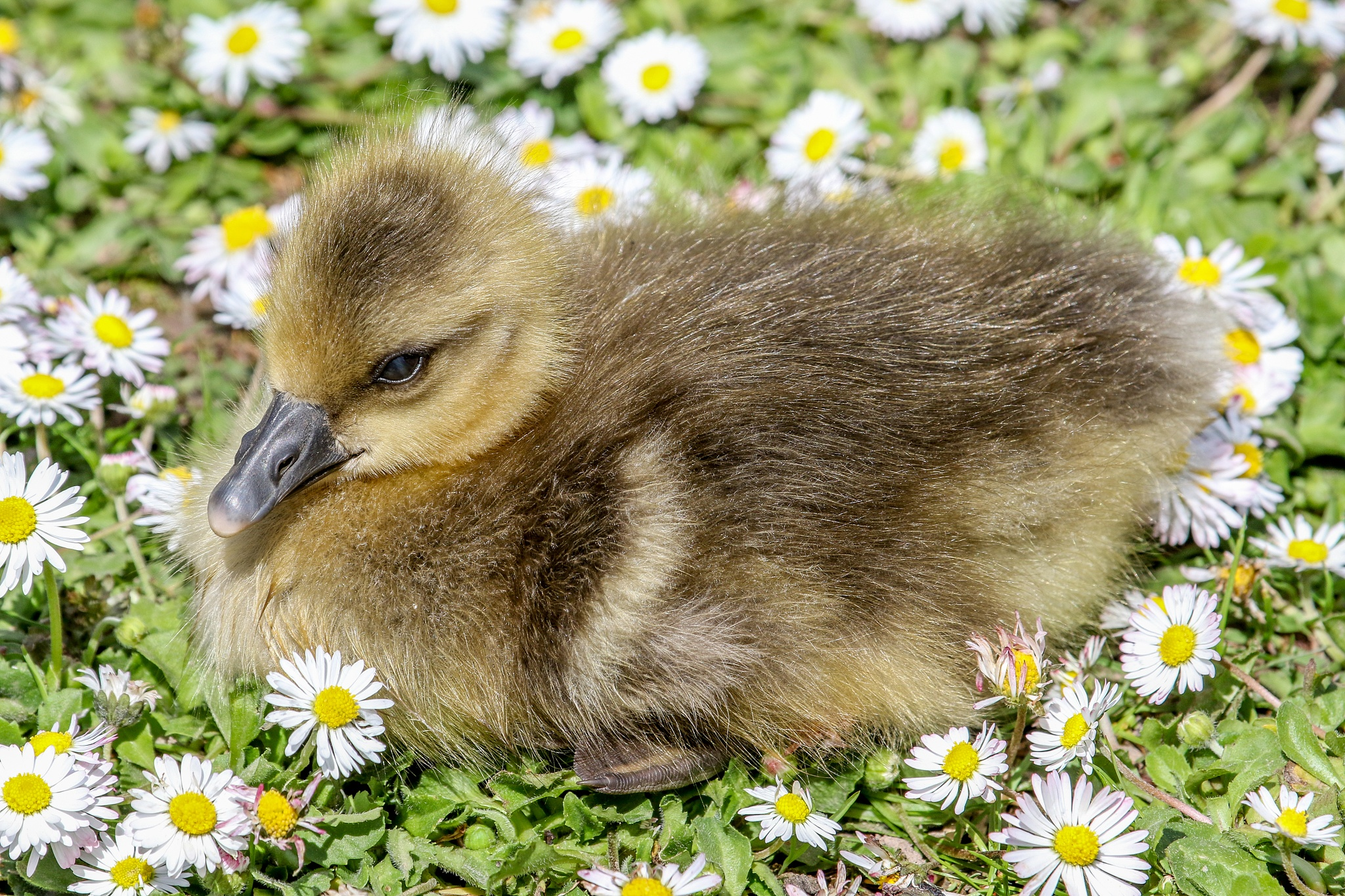 Young gosling by MarkBriscoe