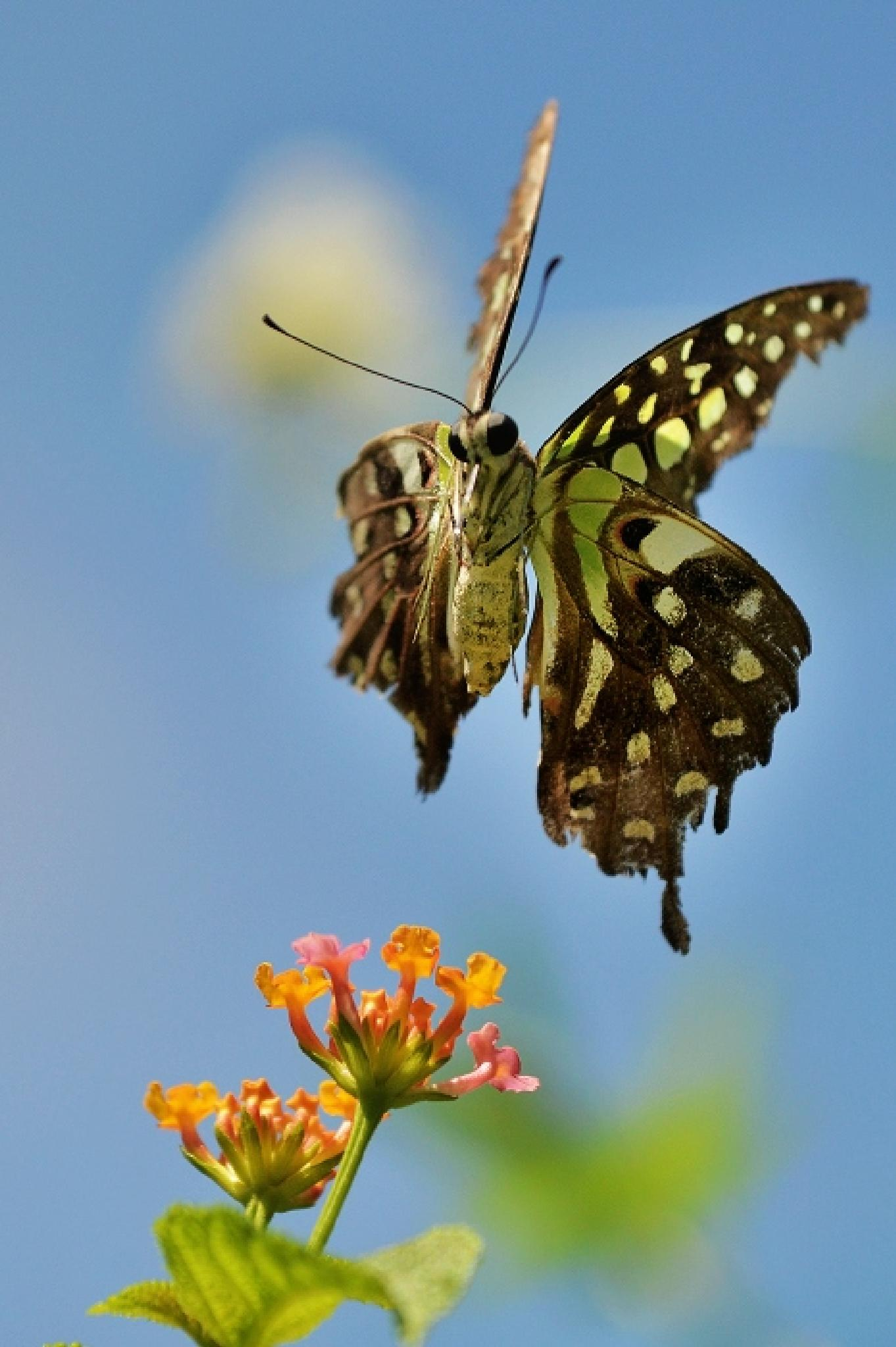Tailed Jay by colonelnikon