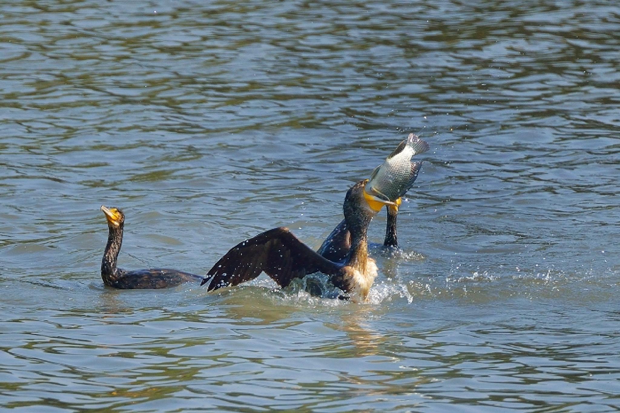Great Cormorant by colonelnikon